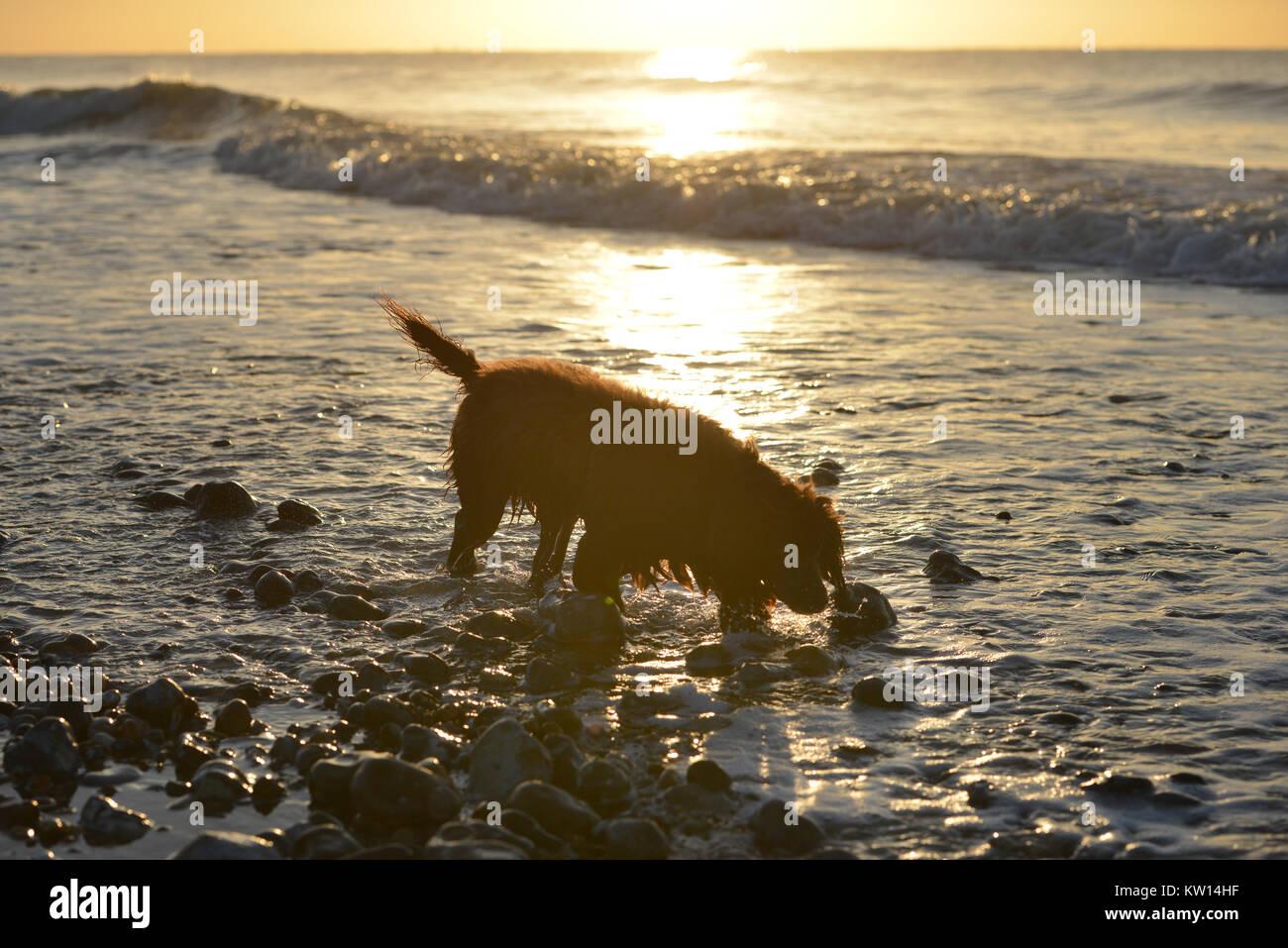 Cocker spaniel walking along a shoreline at sunset/sunrise. - Stock Image