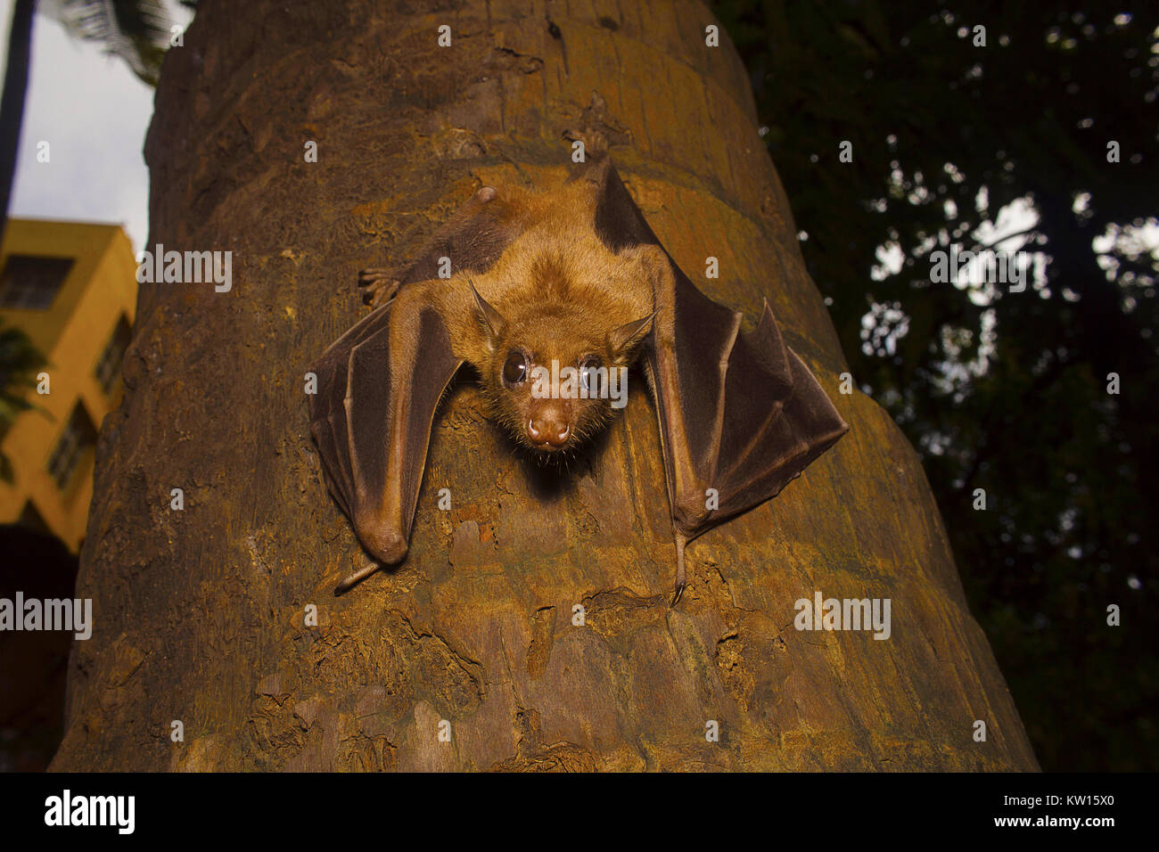 Indian flying fox Bat, Pteropus giganteus. Bhavans  college, Andheri west, Mumbai, Maharashtra, India Stock Photo