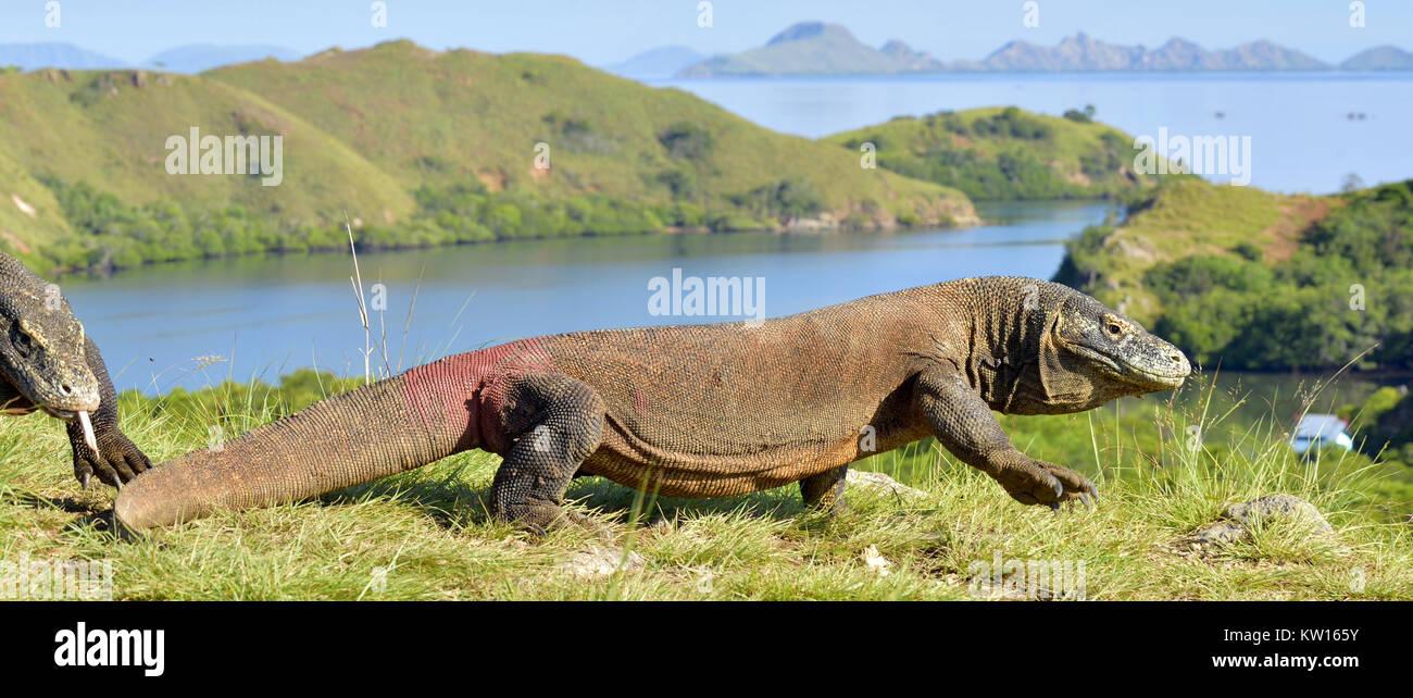 Komodo dragon ( Varanus komodoensis ) in natural habitat. Biggest living lizard in the world.  island Rinca. Indonesia. - Stock Image