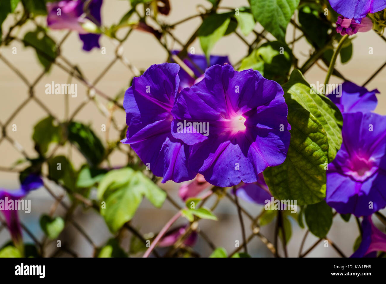 Blue flowers morning glory of the Ipomea genus of the family Convolvulaceae (Ipomea Purpurea) - Stock Image