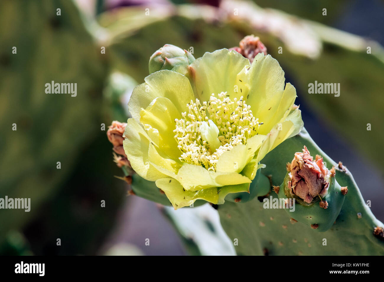 Bright yellow flower of a large cactus (Opuntia robusta) - Stock Image