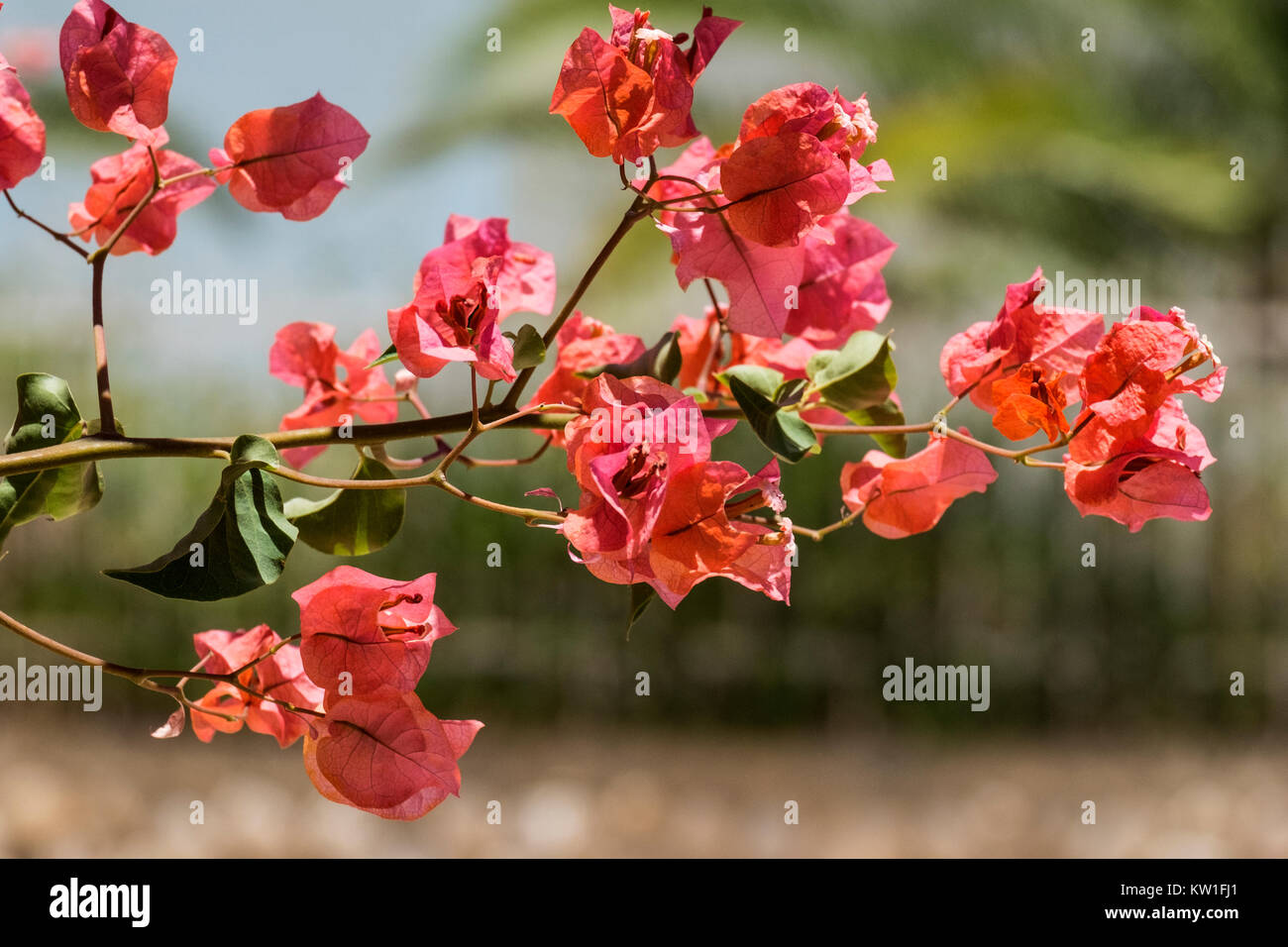 Coral-pink flowers of the evergreen shrub Bougainvillea (Bougainvillea glabra) - Stock Image