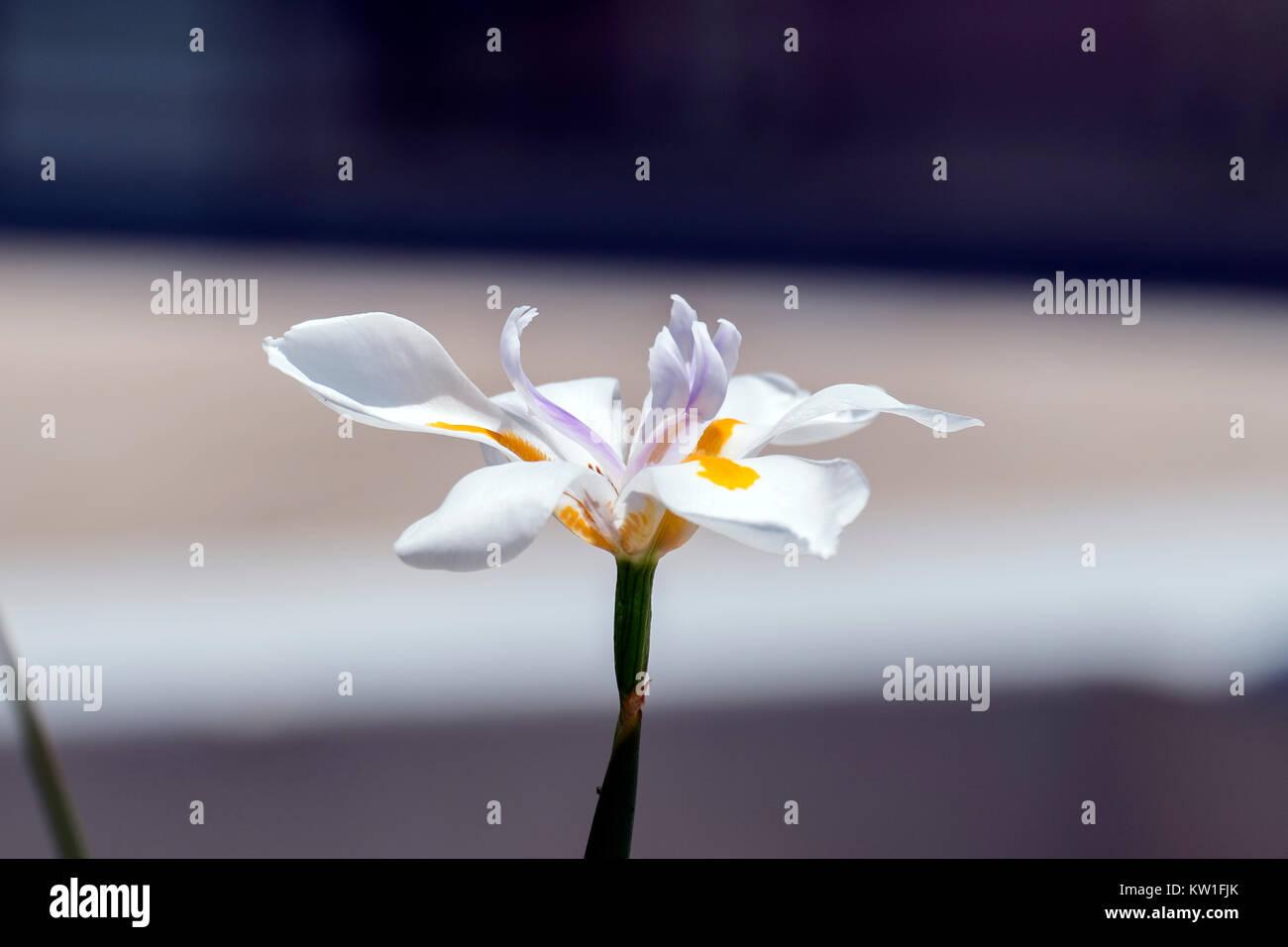 Flower of large wild iris with yellow veins on petals (Dietes grandiflora) - Stock Image
