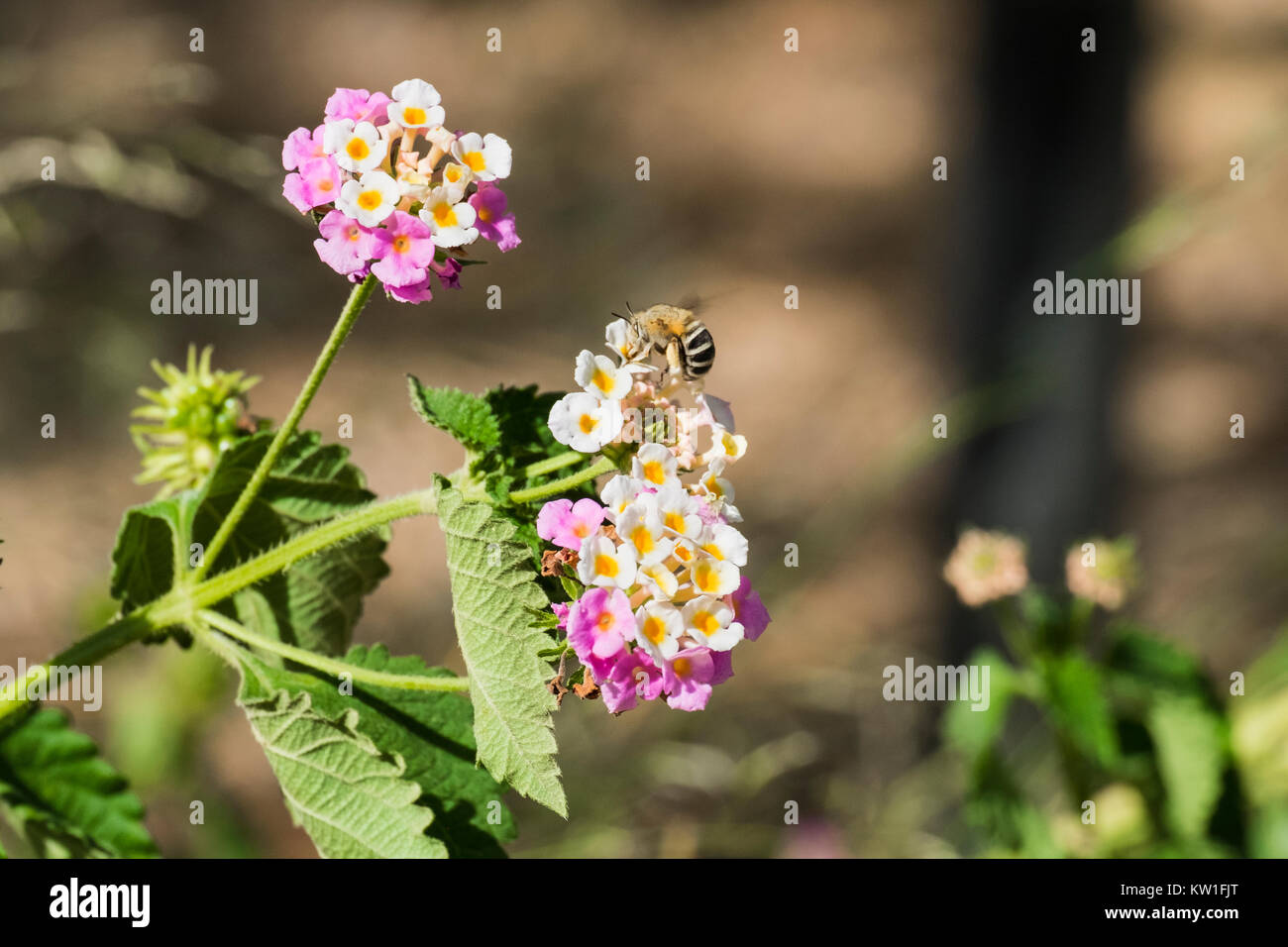 Flower tickberry and a lonely bee arrived for a portion of pollen (Lantana camara) - Stock Image