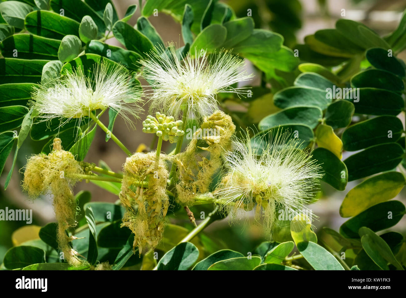 Flowers from acacia silk (Albizia julibrissin) - Stock Image