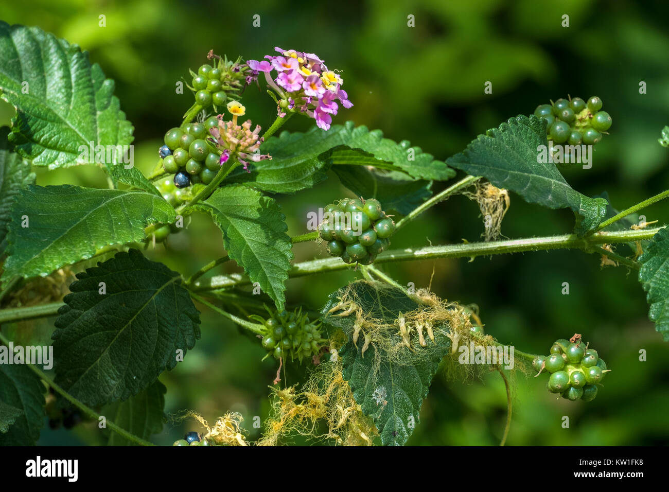 Flowers, leaves and berries of poisonous bush Lantana camara, also known as big-sage, is a species of flowering Stock Photo
