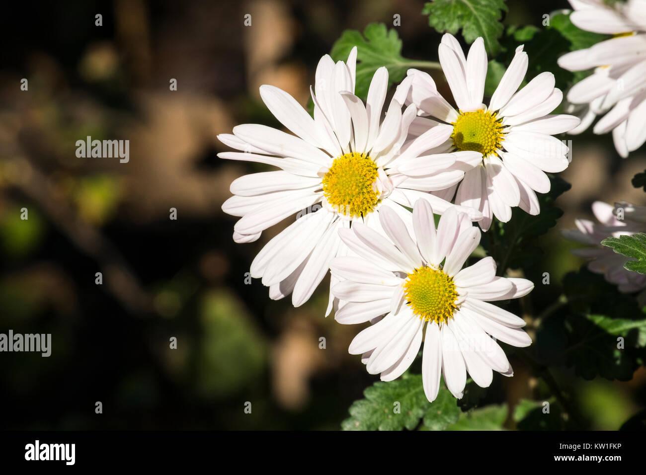 Large white flowers of max chrysanthemum (Leucanthemum maximum) - Stock Image