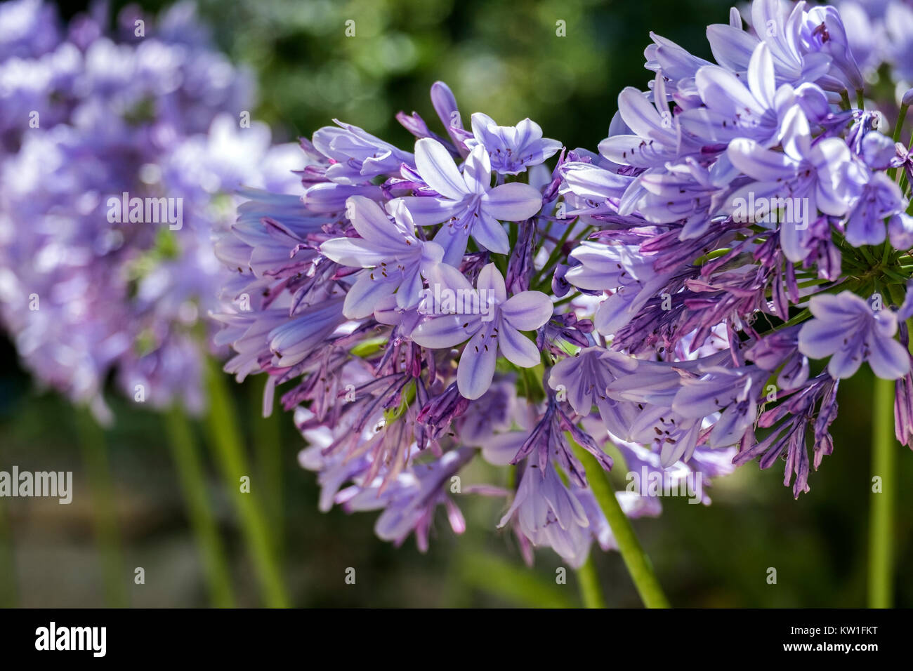 Lilac garden flowers with a globular inflorescence on a blurred background (Agapanthus africanus) - Stock Image