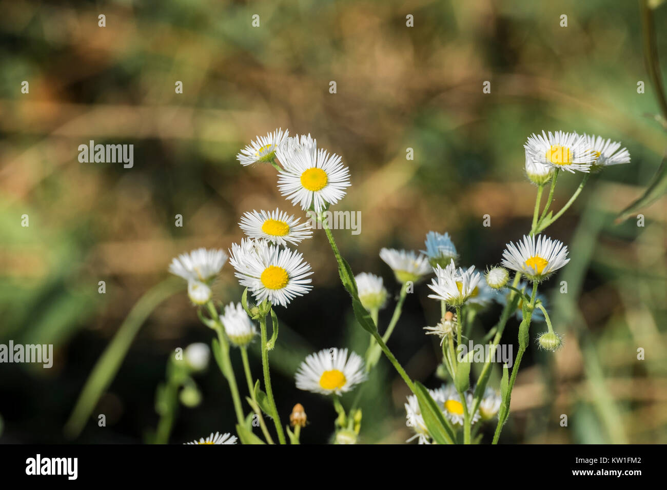 White flowers with yellow centers stock photos white flowers with miniature white flowers daisy fleabane with small petals and yellow centers erigeron annuus mightylinksfo