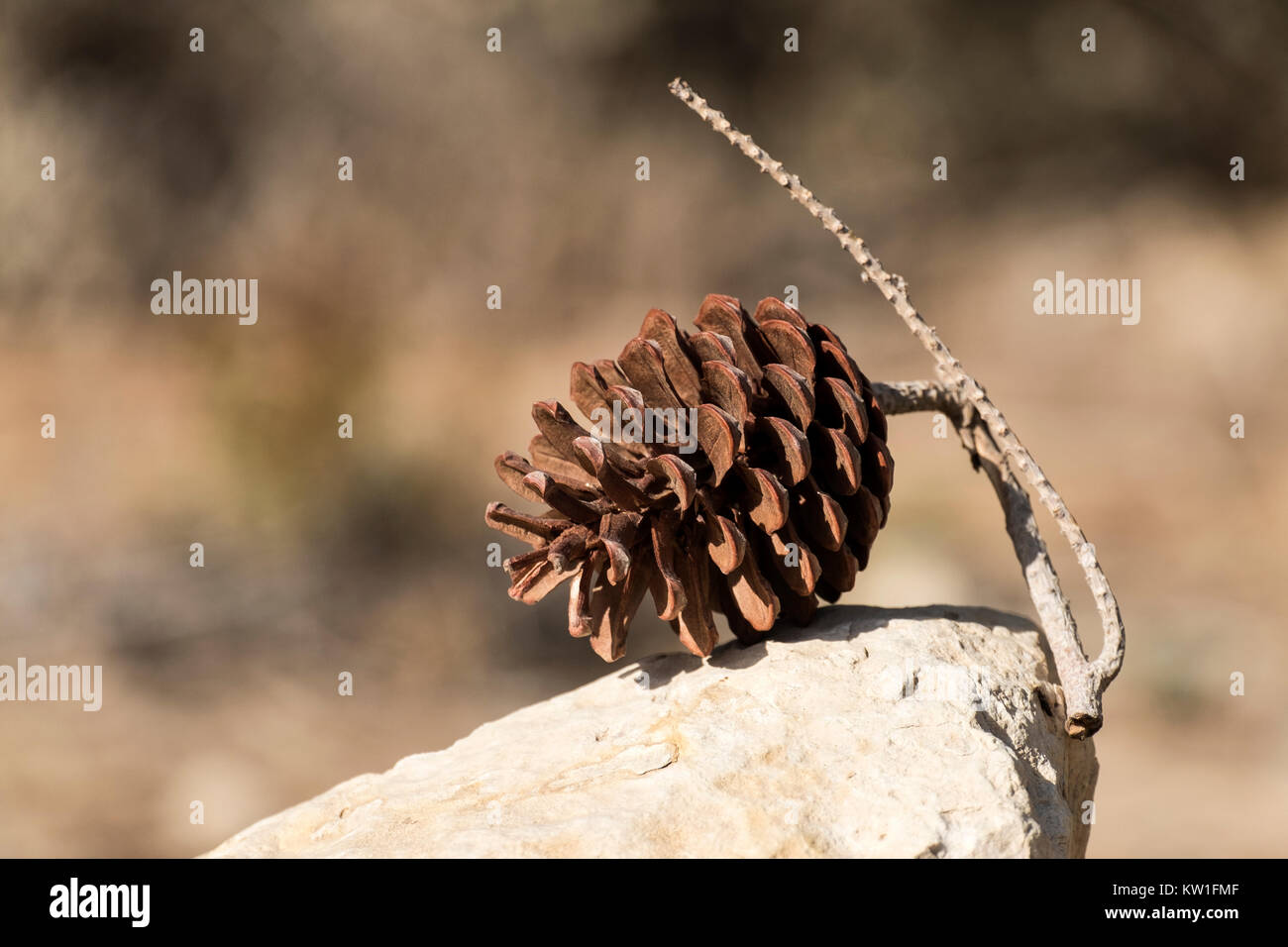 Pine cone lies on a stone on a blurred background - Stock Image