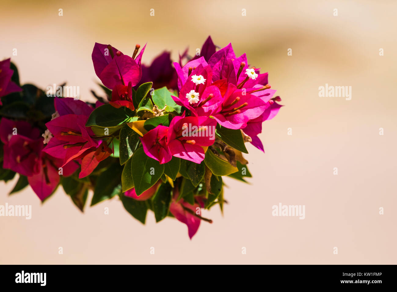 Pink flowers of the evergreen shrub Bougainvillea (Bougainvillea glabra) - Stock Image