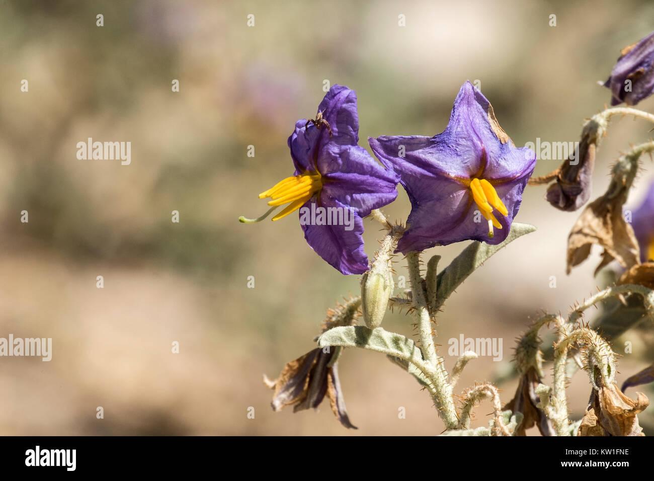Purple flowers Solanum lycocarpum known as the wolf apple - Stock Image