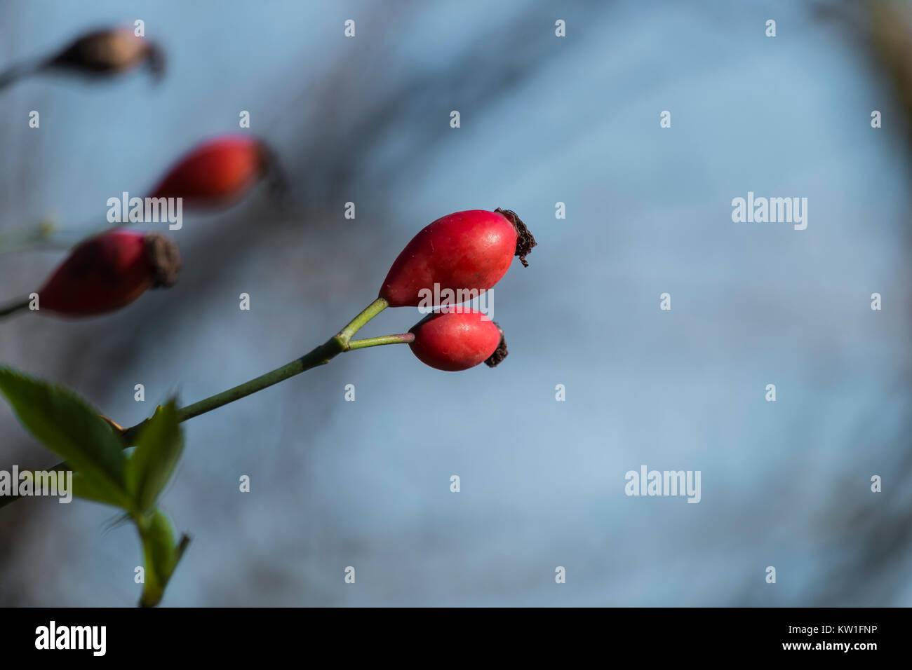 Red fetus of dog-rose (Rosa canina) - Stock Image