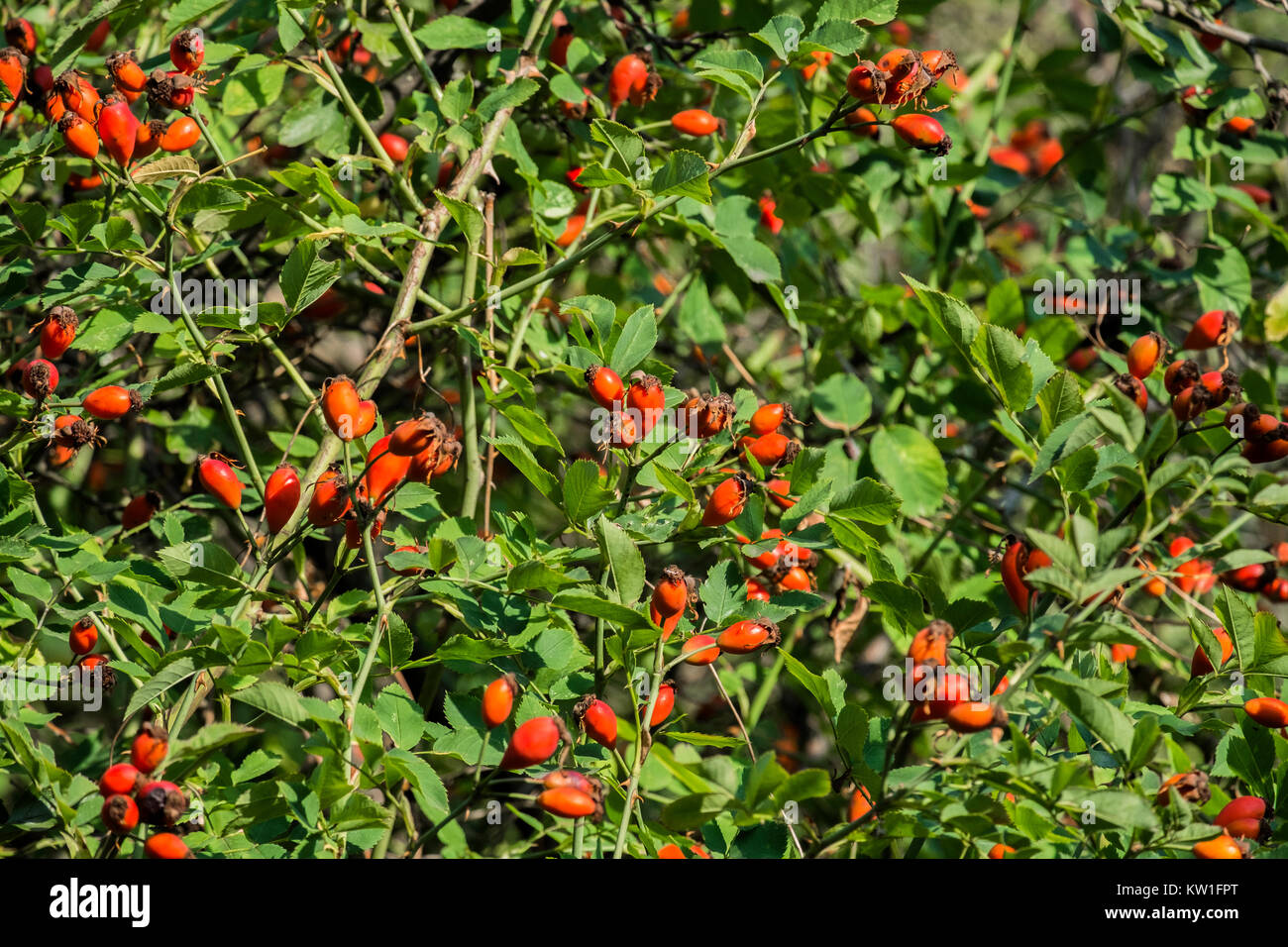 Thickets eglantine with red fetus (Rosa rubiginosa) - Stock Image