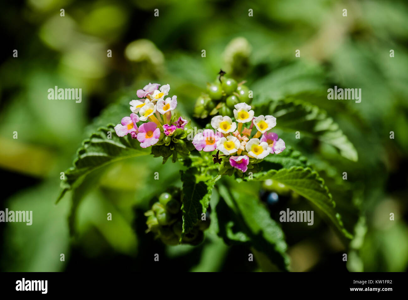 White and purple flowers tickberry (Lantana camara) Stock Photo