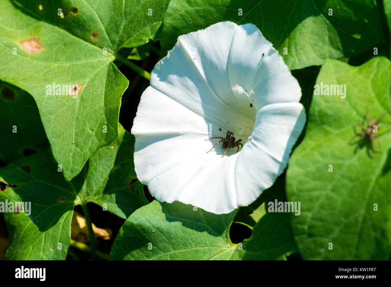 White cone-shaped flower of hedge bindweed with a small spider inside (Calystegia sepium) - Stock Image