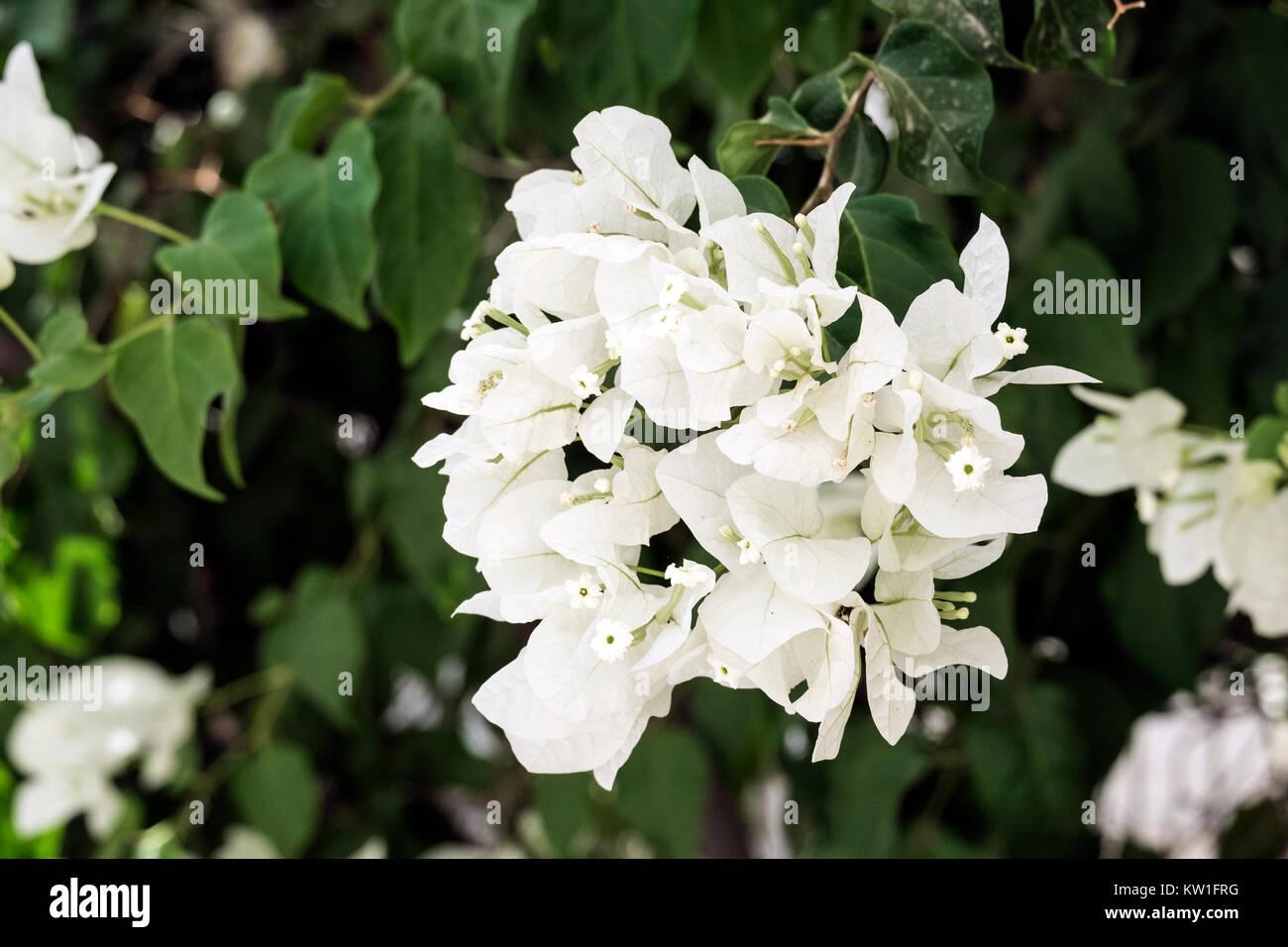 White flowers of the evergreen shrub Bougainvillea (Bougainvillea glabra) - Stock Image