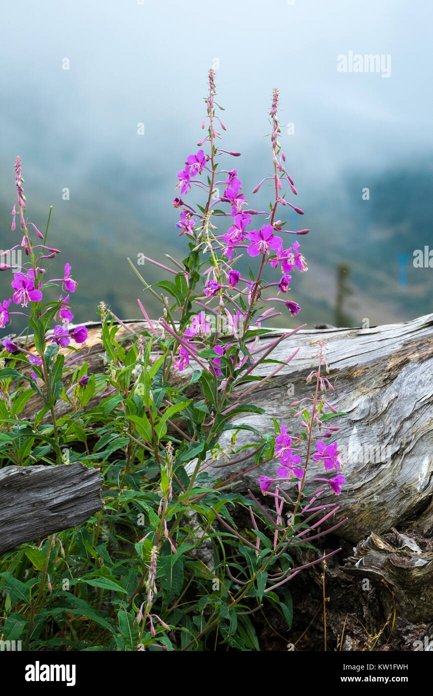 Purple flowers of fireweed near the old big root against the background of misty mountains (Chamaenerion angustifolium) - Stock Image