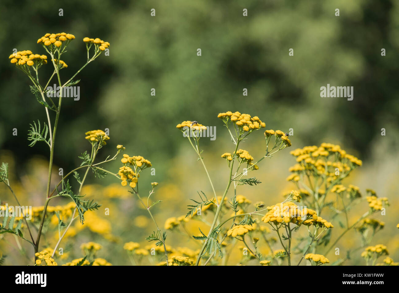 Medicinal herbs yellow flowers tansy on a blurred background stock medicinal herbs yellow flowers tansy on a blurred background tanacetum vulgare mightylinksfo