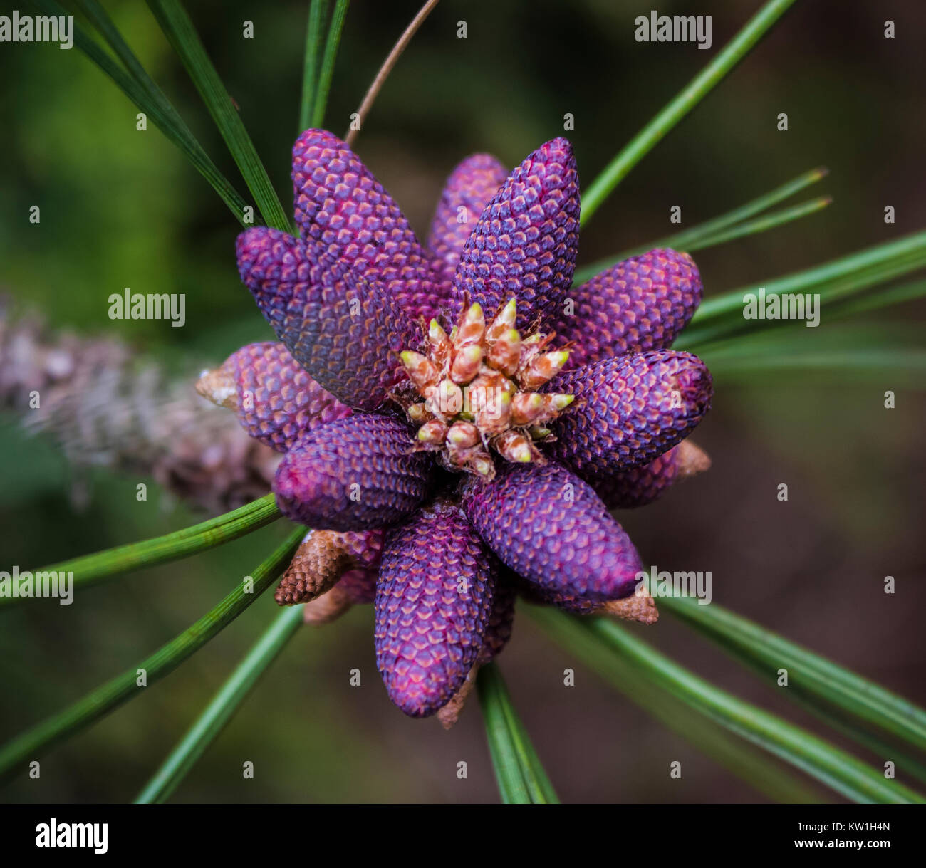 Young Purple Pine Cones Of Panderosa Pine Tree In Spring Stock Photo