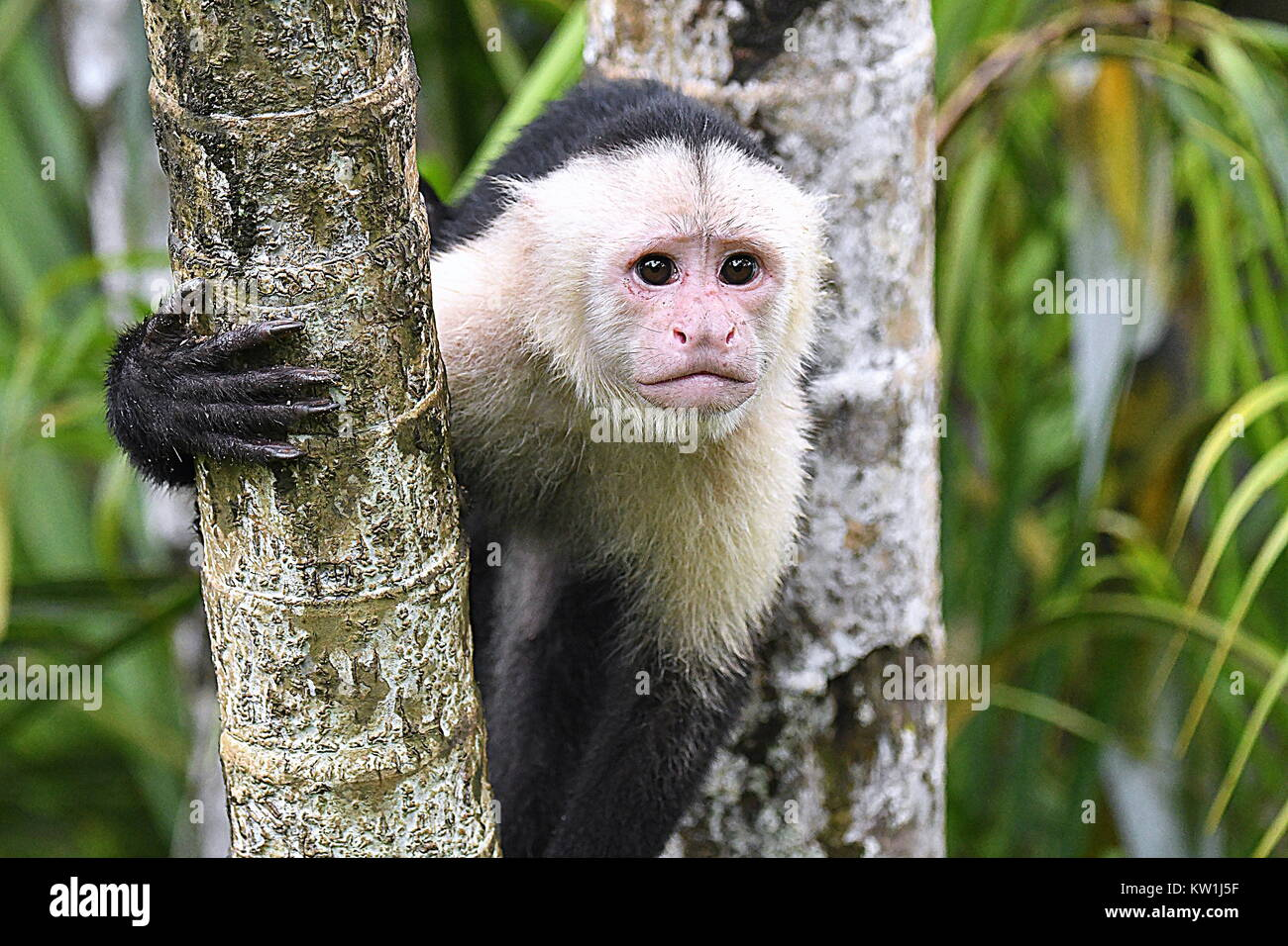 Capuchin monkey in Costa Rica Stock Photo