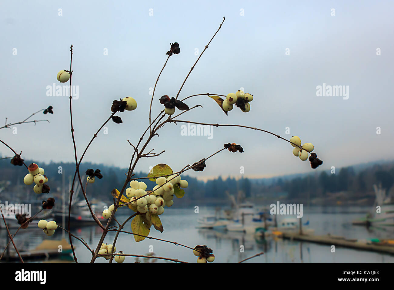 snowberries along harbor town - Stock Image