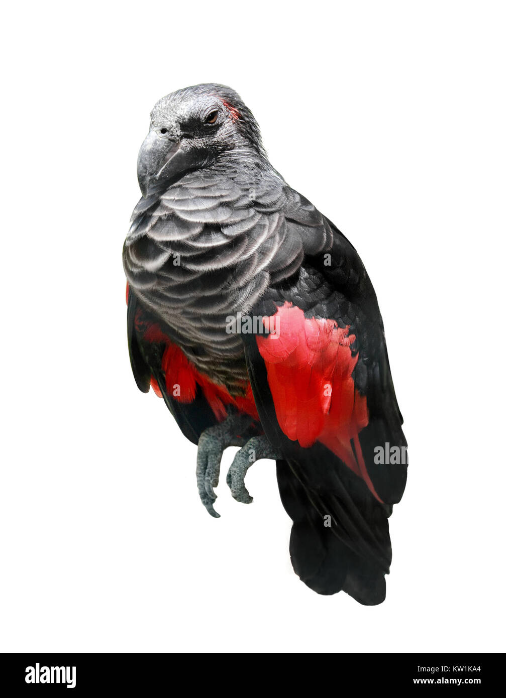 black and red wings bird - Stock Image