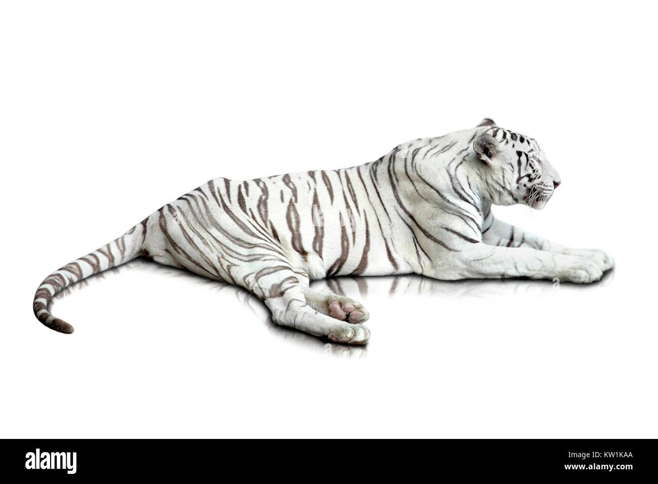 white tiger - Stock Image