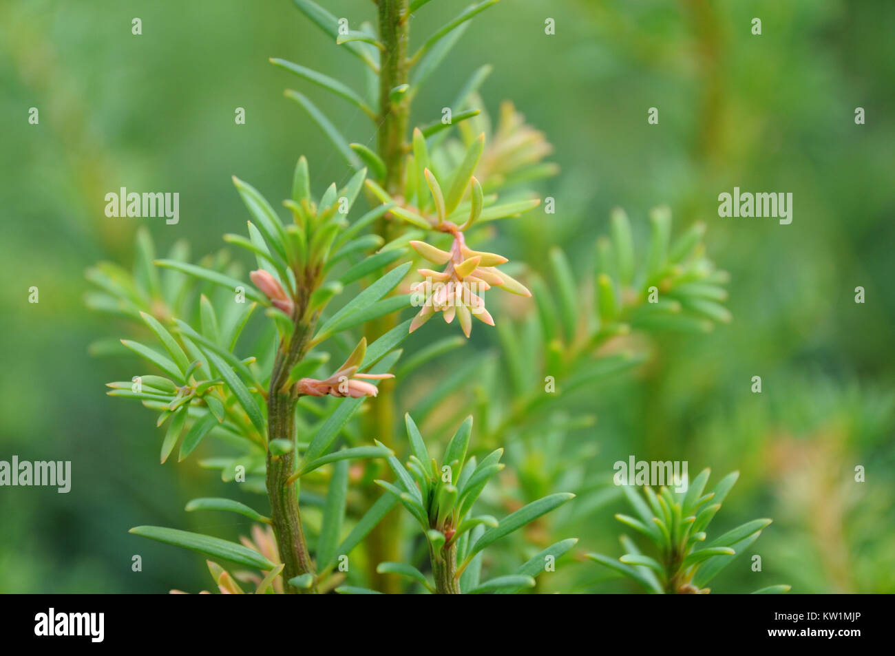 detail of a yew hedge - Stock Image
