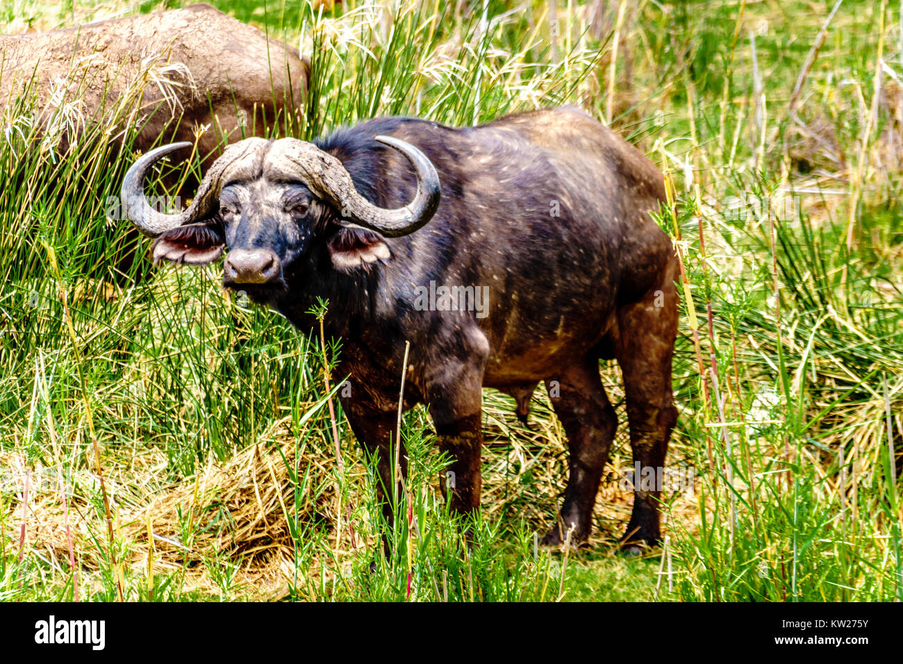 Water Buffaloes grazing on the riverbank of the Olifants River in Kruger National park near the town of Phalaborwa - Stock Image
