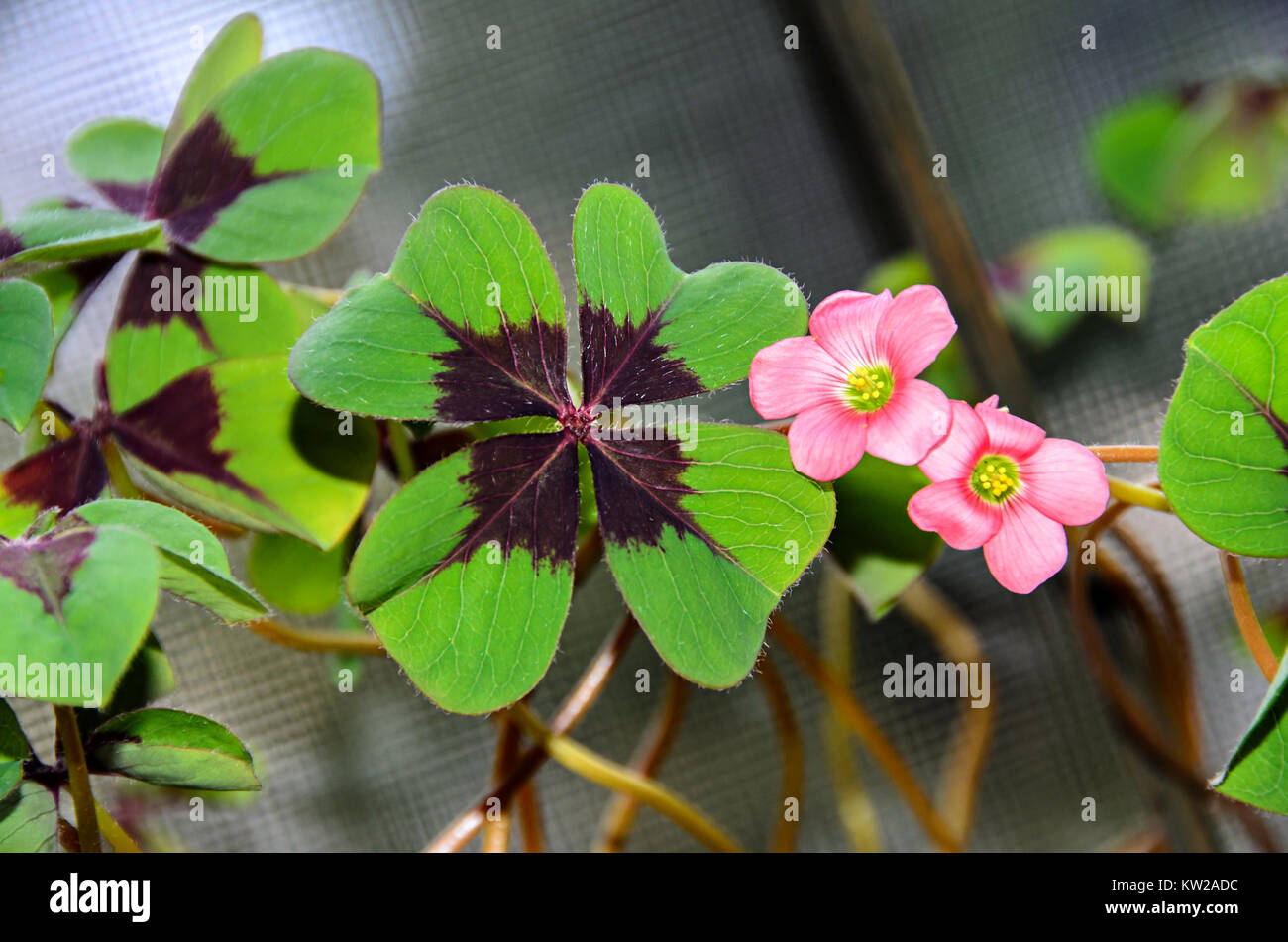 Pink four leaves clover flowers green leafs trefoil lucky symbol pink four leaves clover flowers green leafs trefoil lucky symbol stock photo 170311832 alamy mightylinksfo