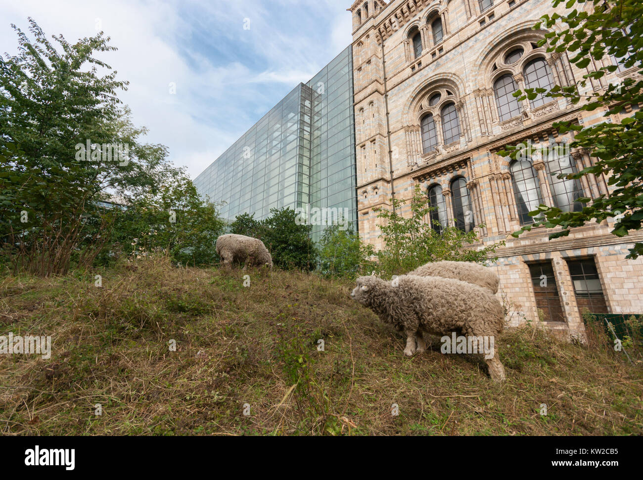 Sheep flock (from the London Wetland Centre) grazing the meadow in the Wildlife Garden of the Natural History Museum - Stock Image