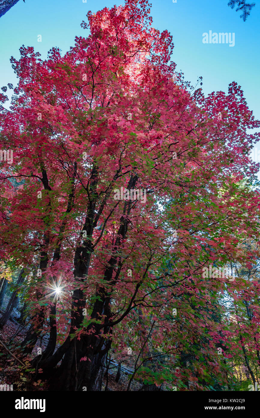 The late afternoon sun peeks through the canopy of the colorful Autumn forest of Bear Wallow in the Santa Catalina Stock Photo