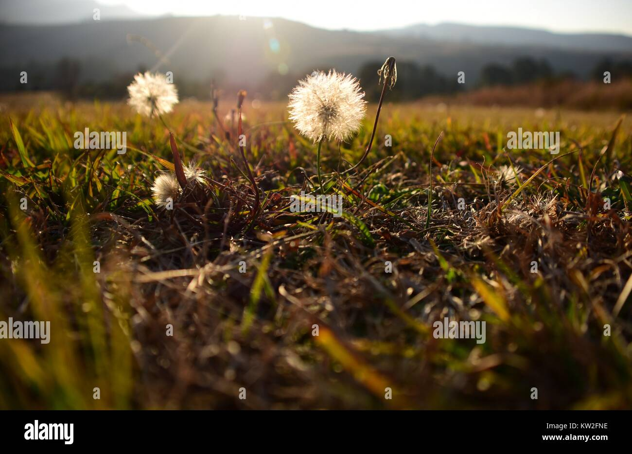 Dandelion seed heads in a green, grassy field shot at a low angle with the sun as backlight and mountains in the - Stock Image