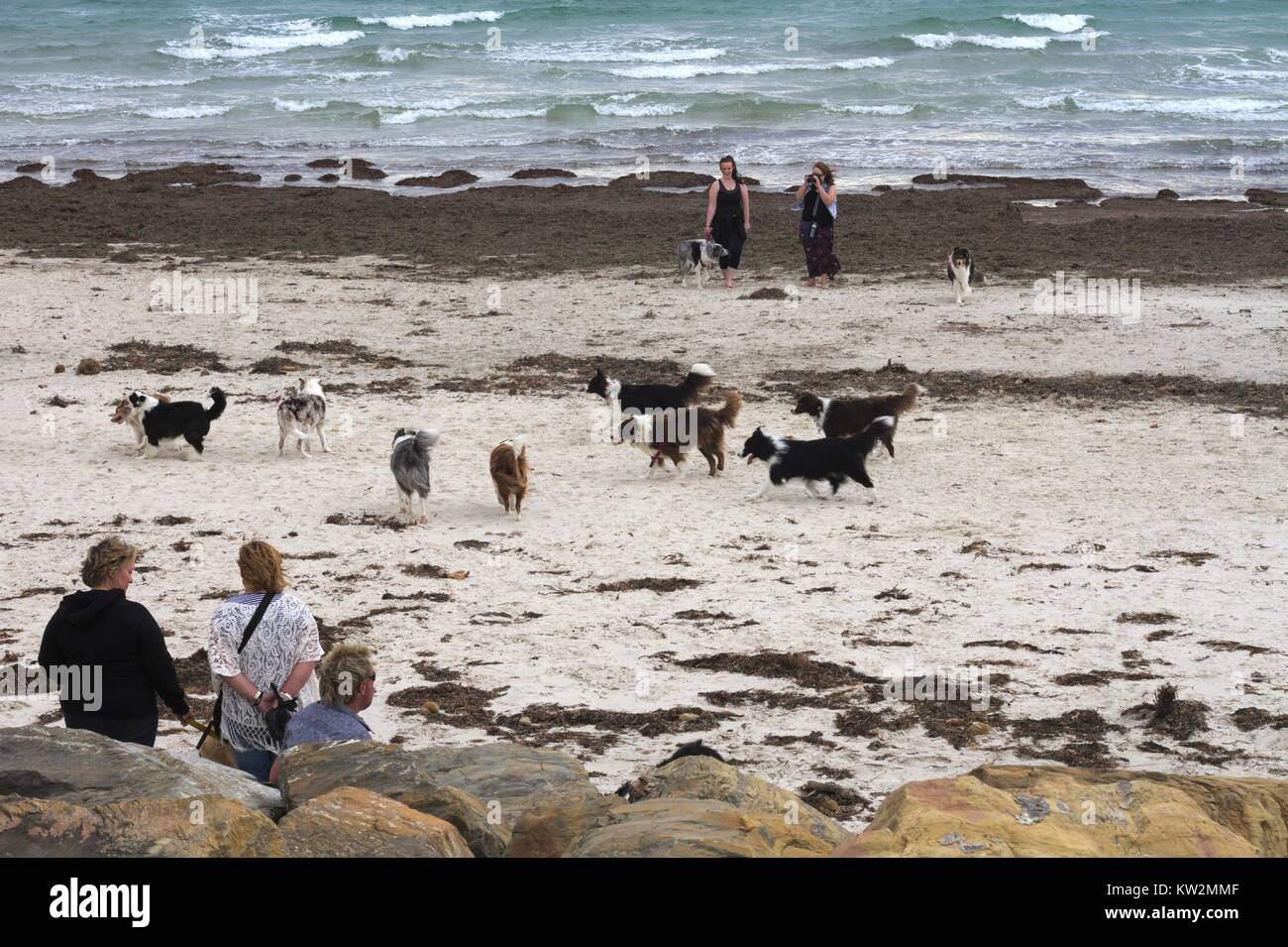 A group of border collies and their owners meet on a windswept beach. Stock Photo