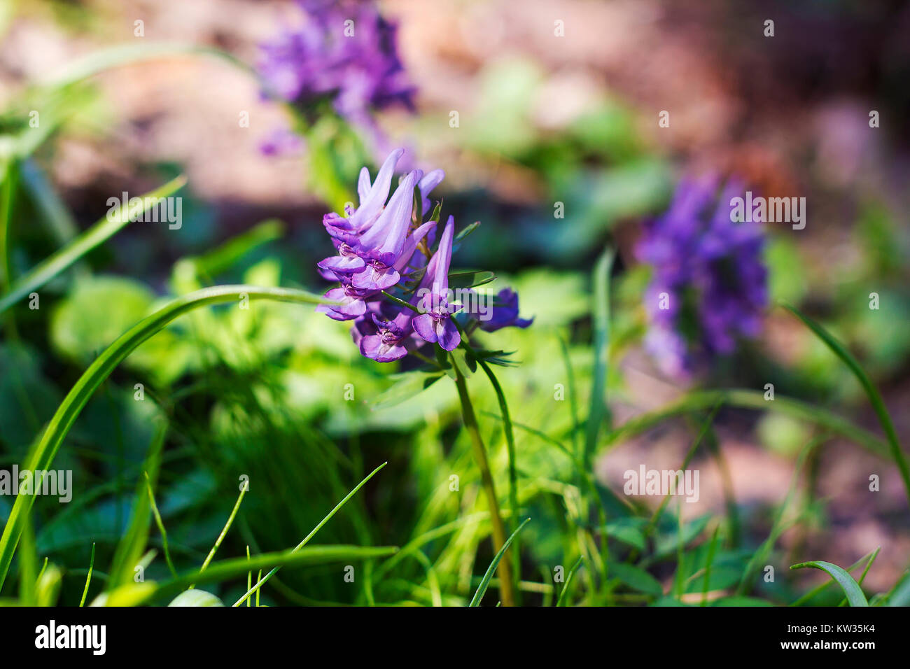 Small Early Purple Flowers Corydalis In Green Grass Side View Stock