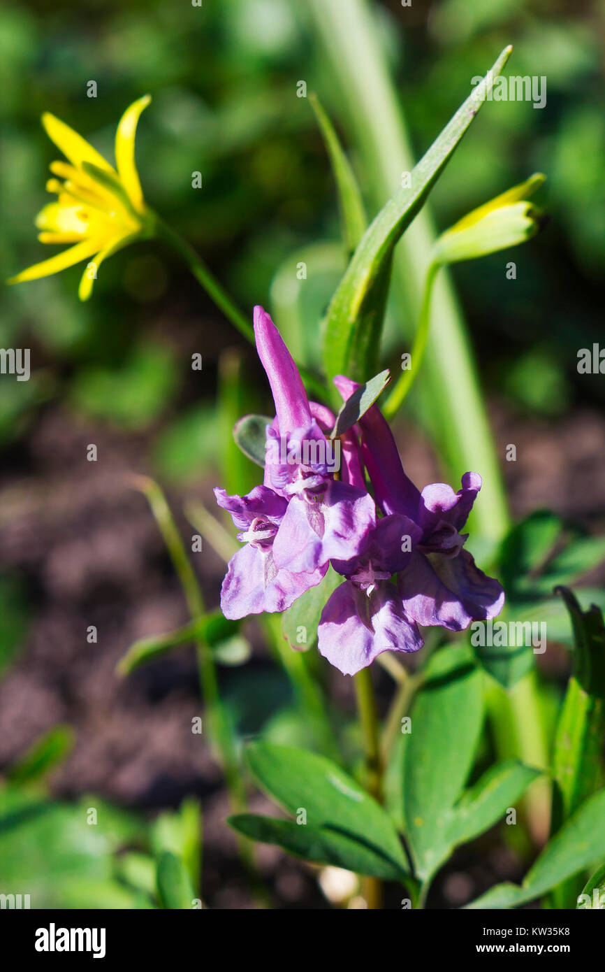Small Early Purple Flowers Corydalis In Green Grass Macro