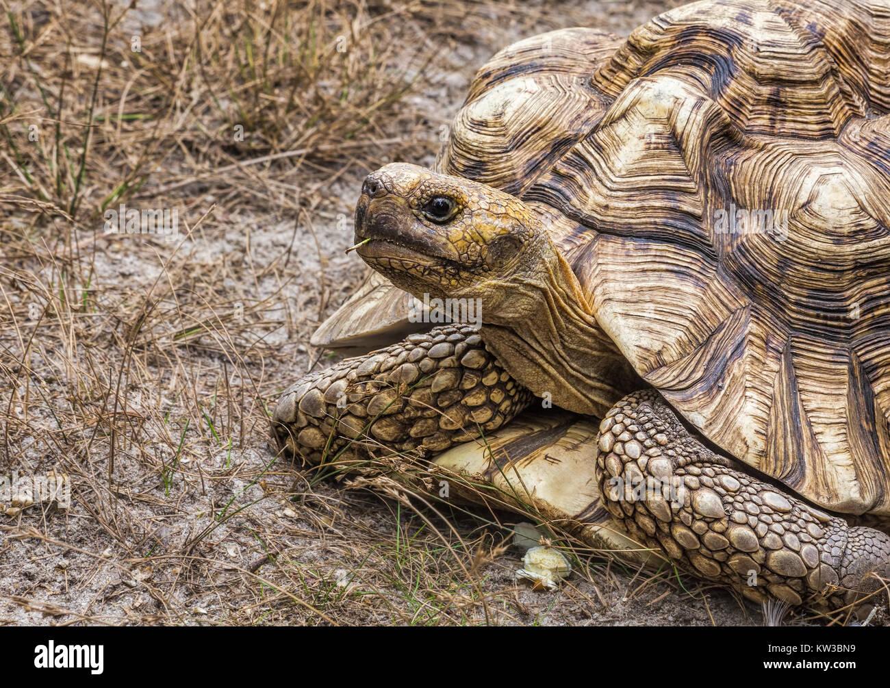 An Aldabra giant tortoise (Aldabrachelys Gigantea) - Stock Image