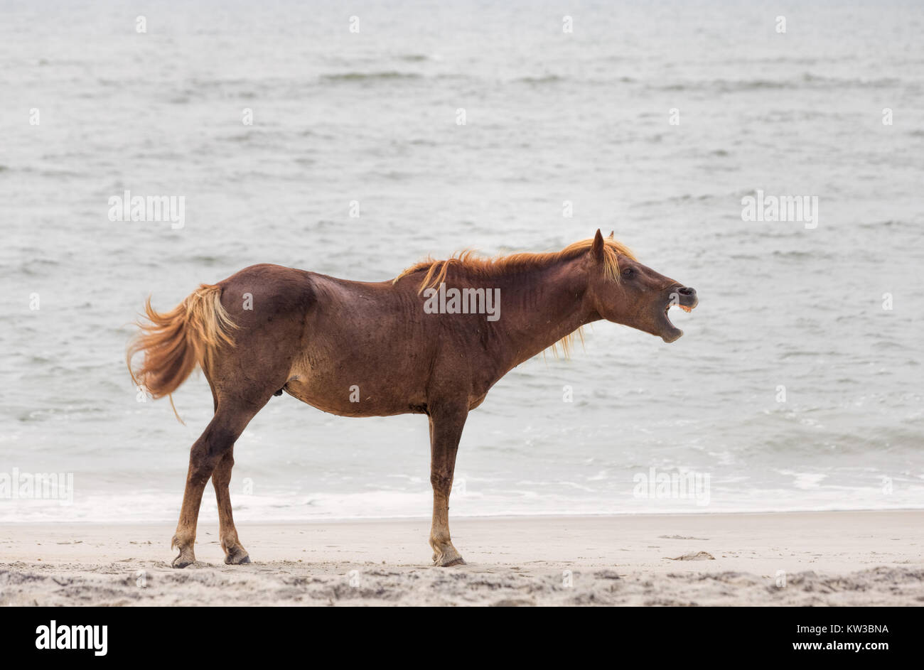 A Wild pony, horse, of Assateague Island, Maryland, USA on the beach. These animals are also known as Assateague Stock Photo