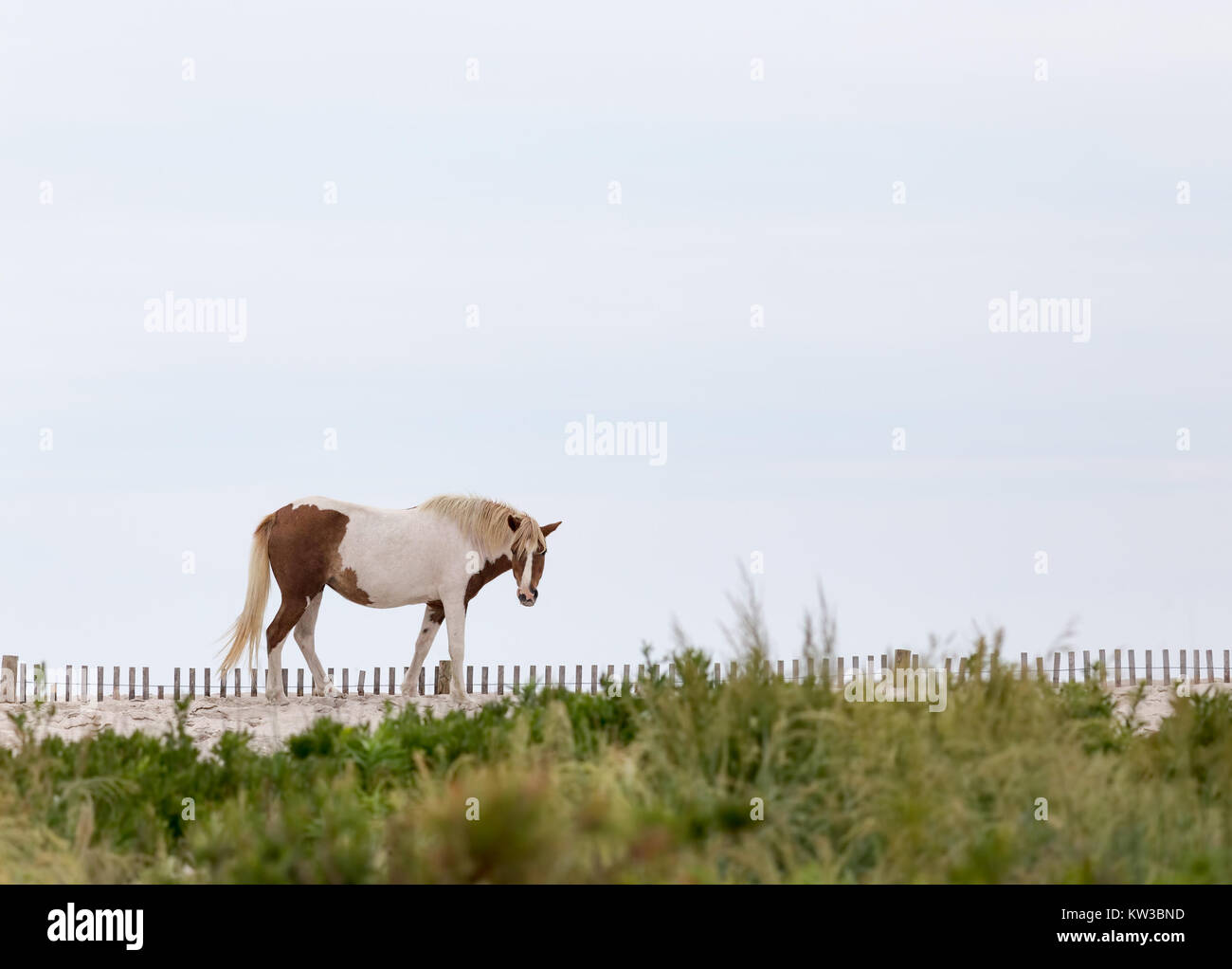 A Wild pony, horse, of Assateague Island, Maryland, USA. These animals are also known as Assateague Horse or Chincoteague Stock Photo