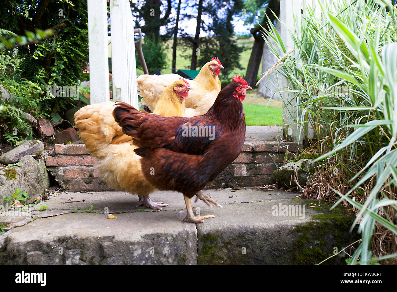 Group of hens in English garden Stock Photo