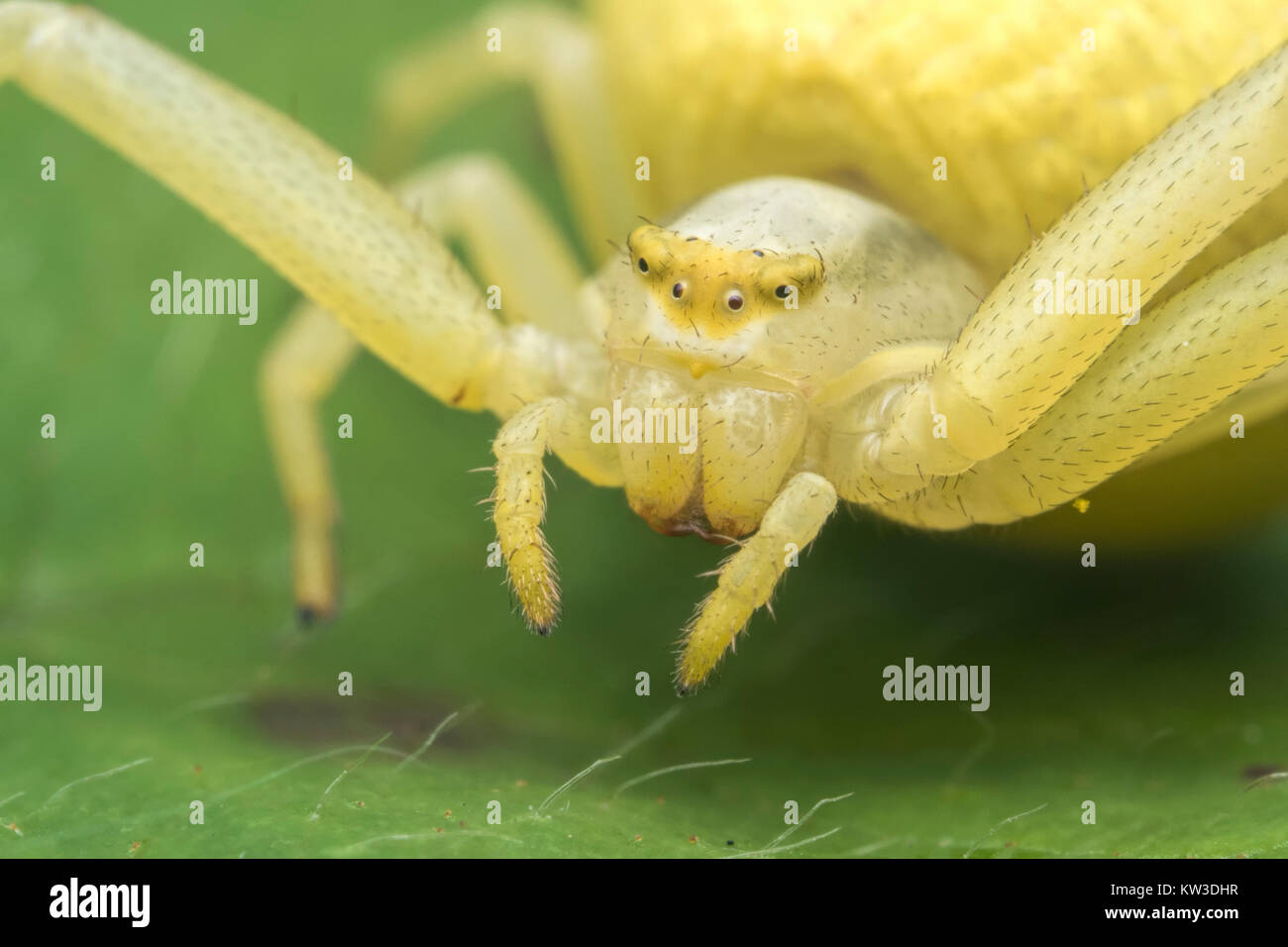 Crab Spider (Misumena vatia) close up macro photo of its head. Thurles, Tipperary, Ireland. - Stock Image