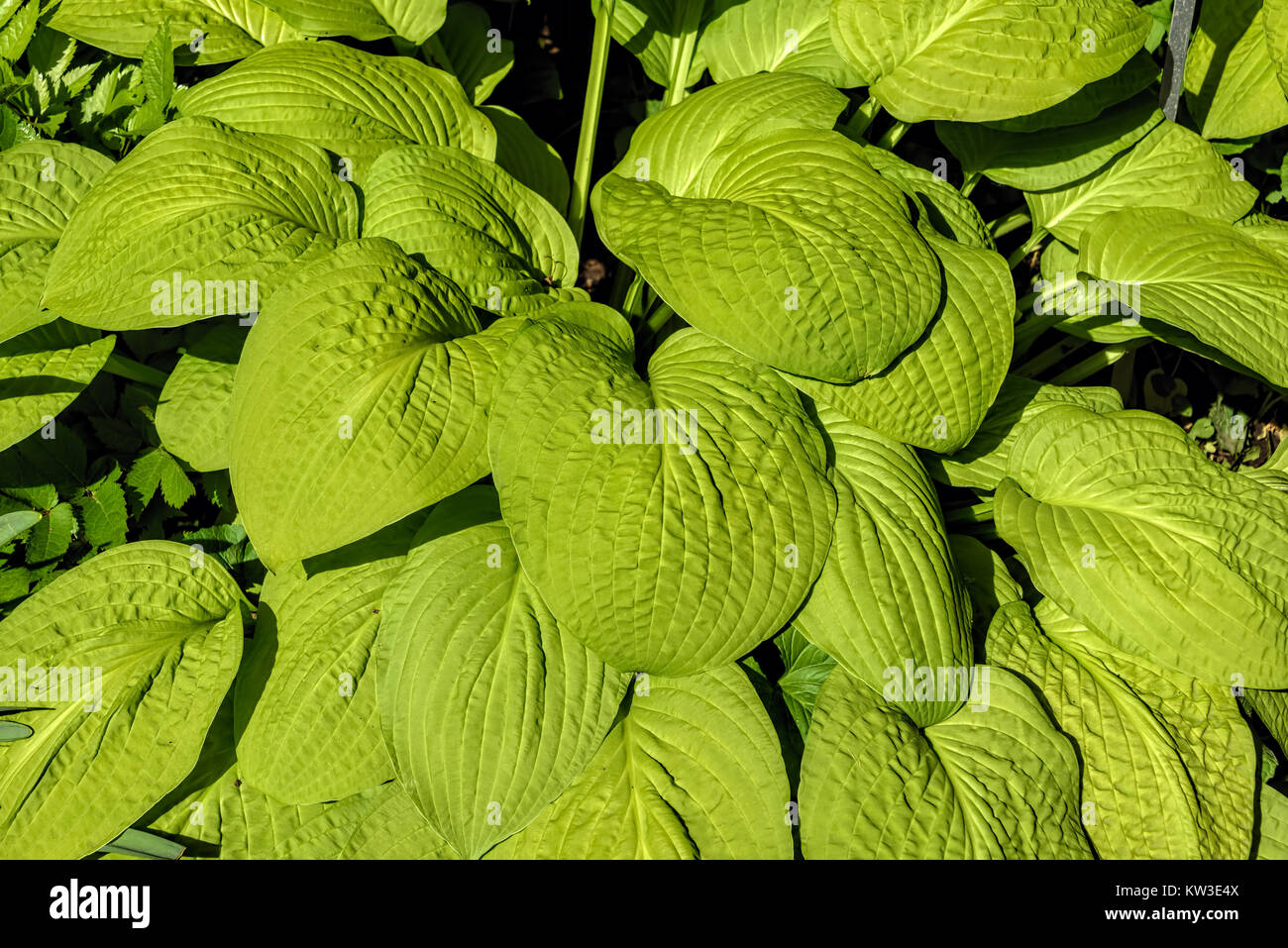 Closeup of wide green veined leaves - Stock Image