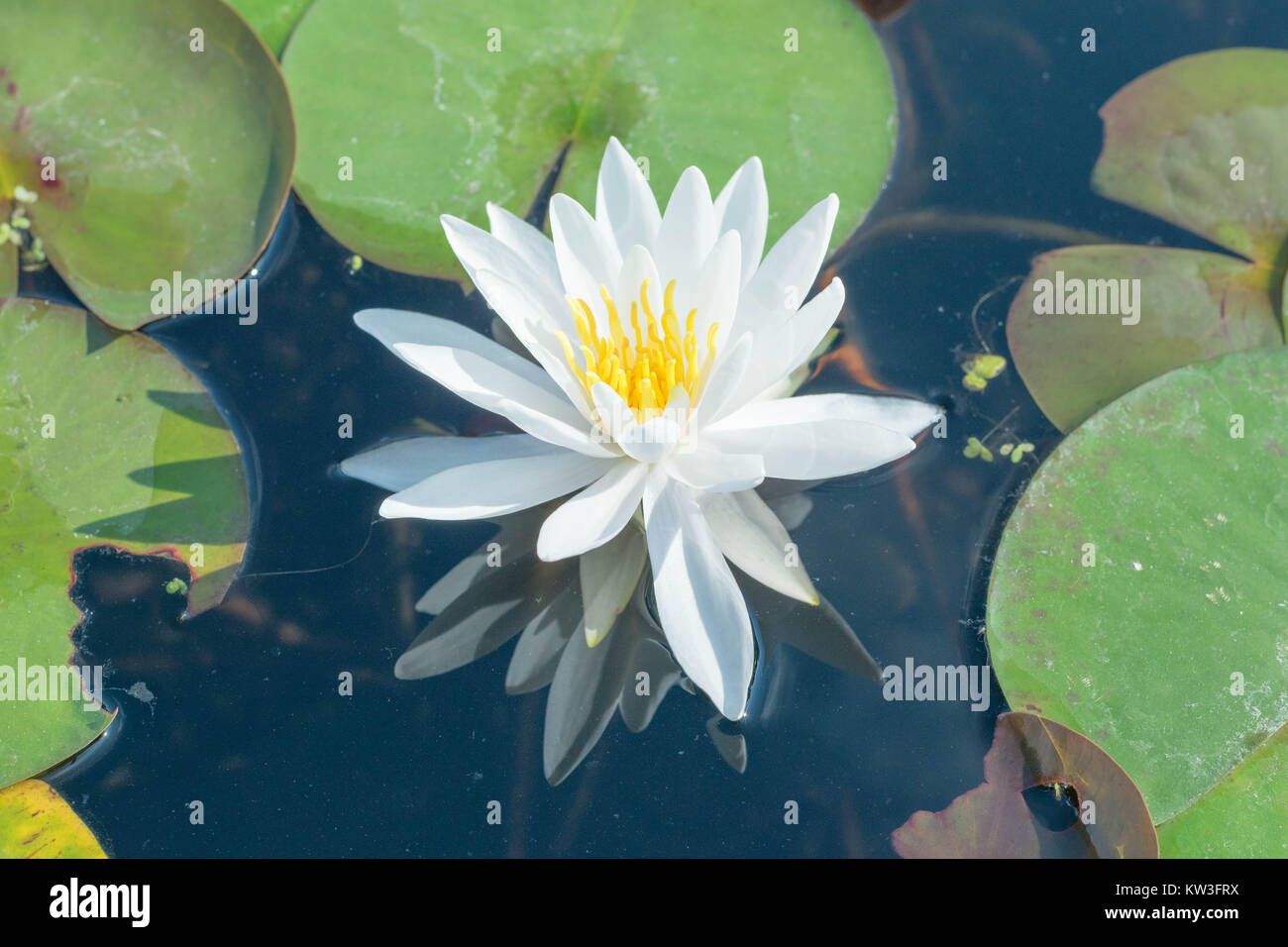Up Close Isolated White Lotus Flower With A Yellow Center In A