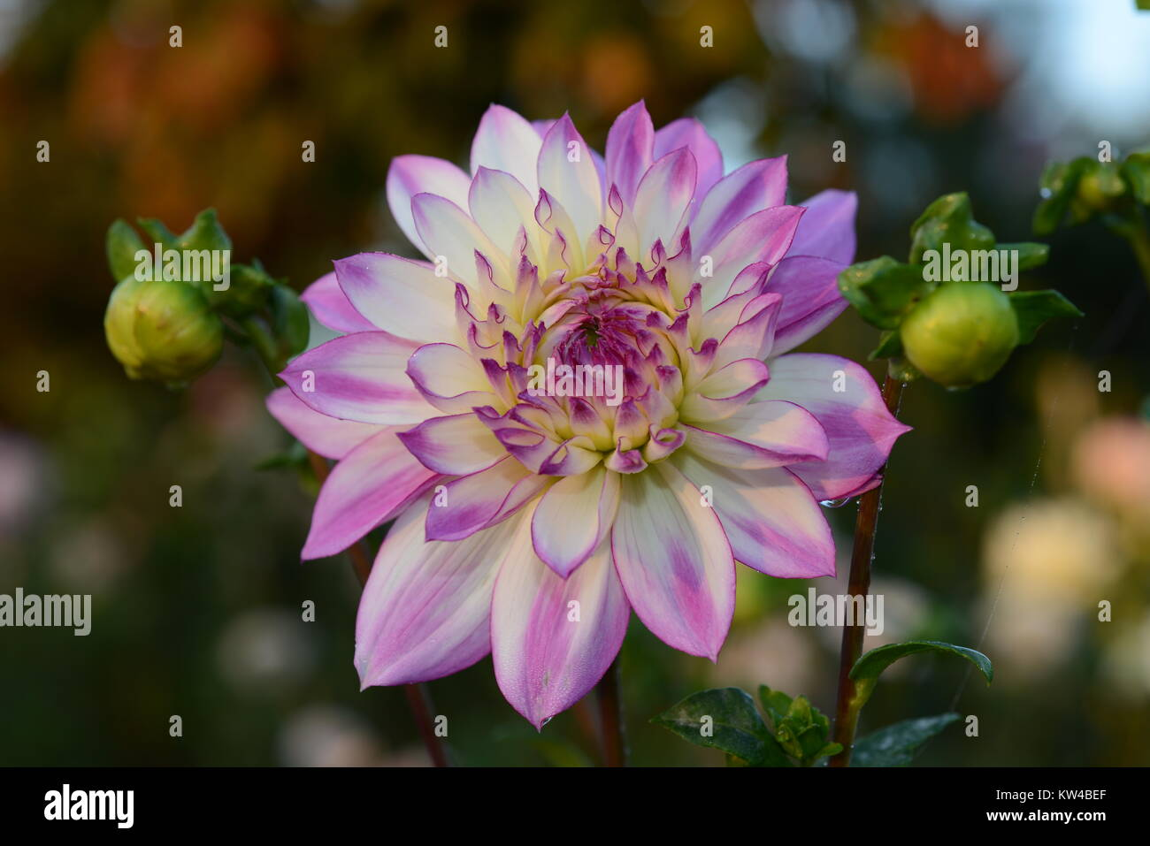 Dahlia  is a genus of bushy, tuberous, herbaceous perennial plants native to Mexico. A member of the Asteraceae - Stock Image