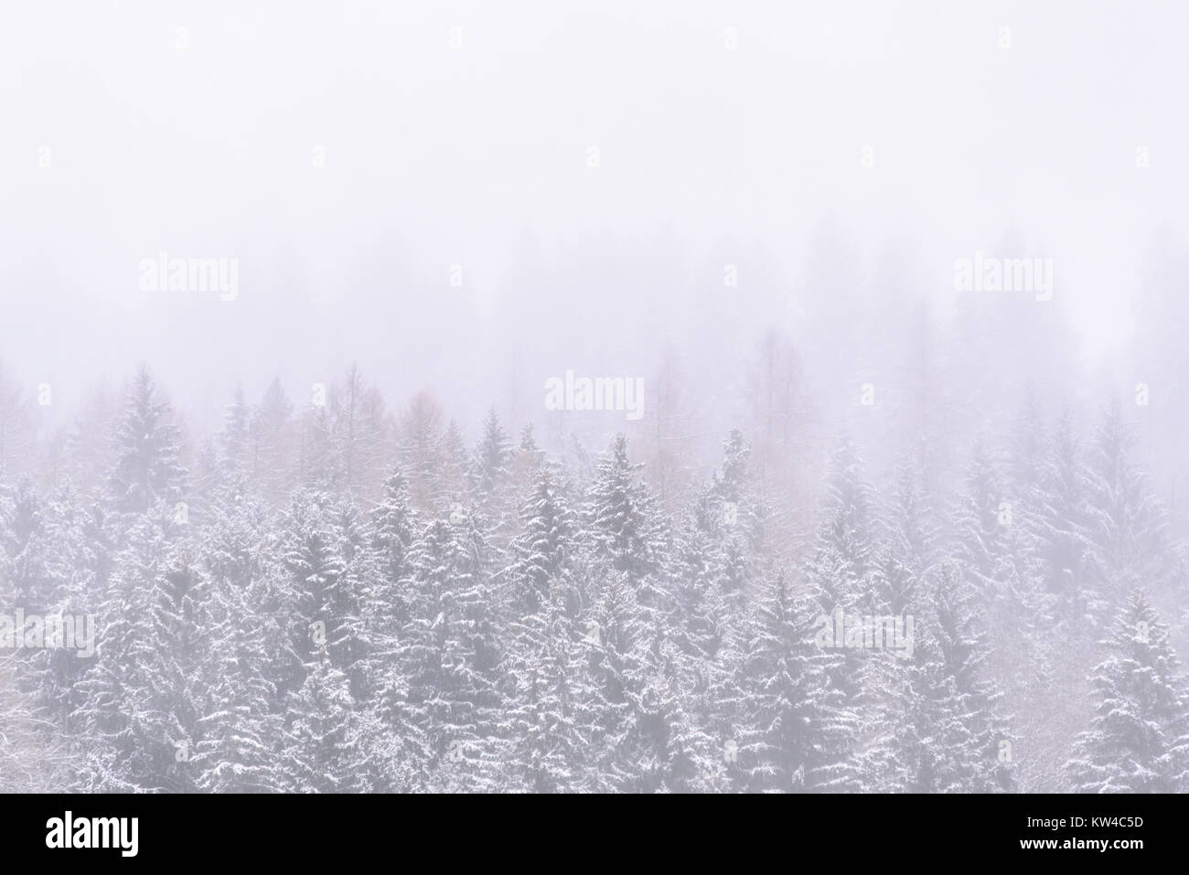 pine trees covered with snow and fog, white winter background Stock Photo