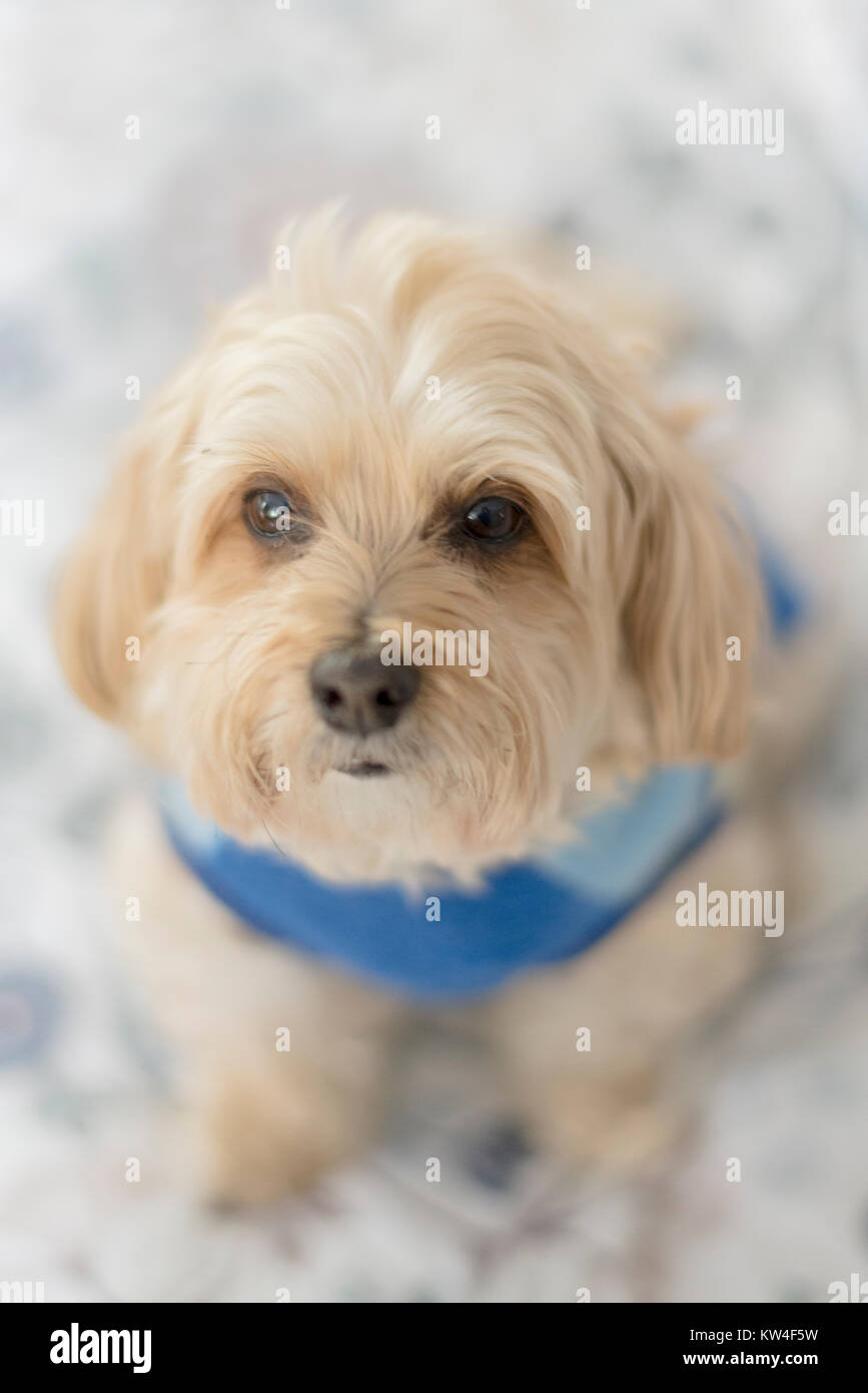 Morkie dog mixed breed wearing a blue sweater - Stock Image