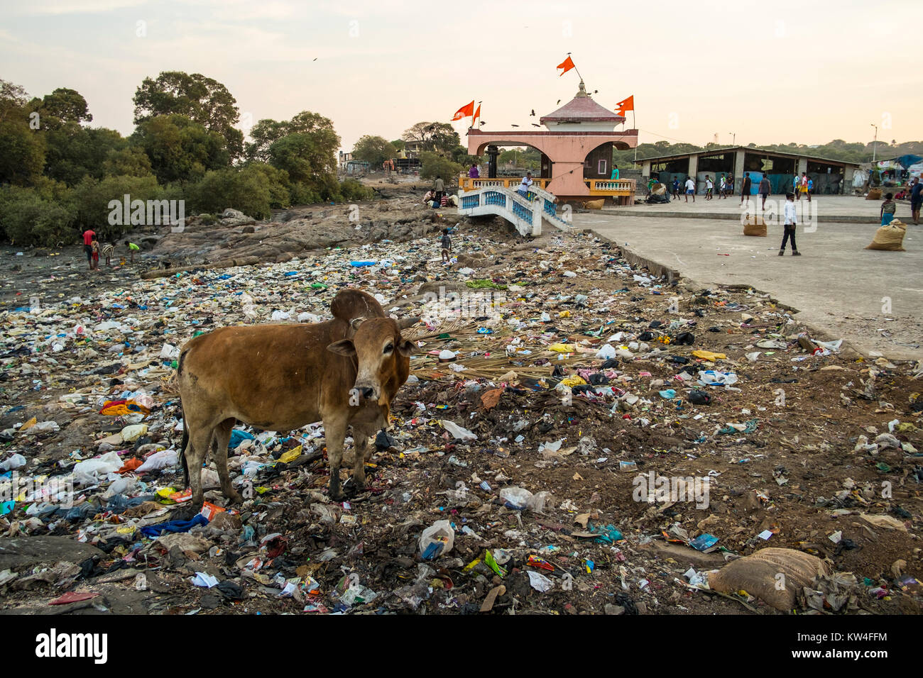 Cows feed and childfren play in garbage next to a temple in Madh Island, Madh, Mumbai, India Stock Photo
