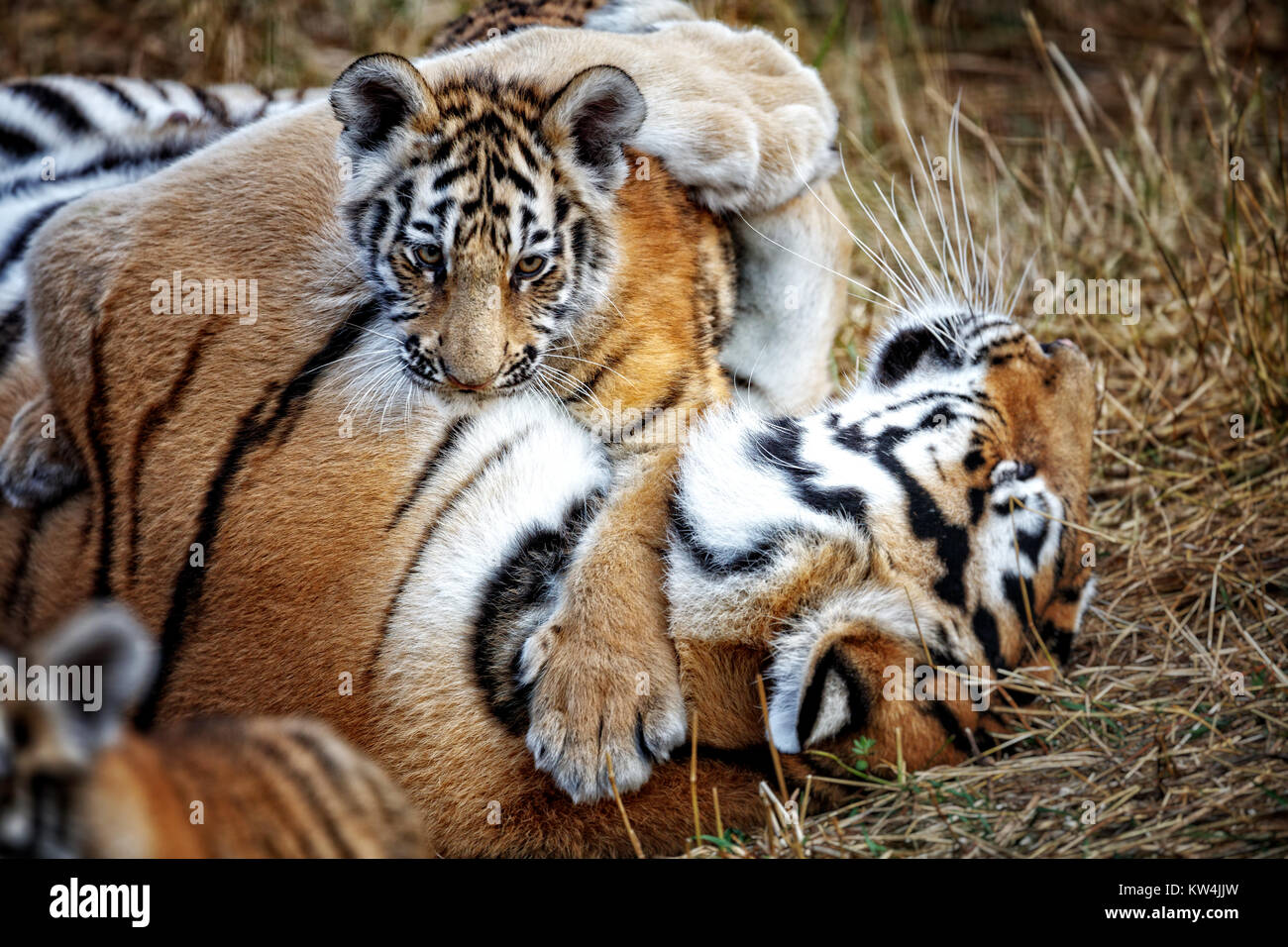 tigress with cub. tiger mother and her cub Stock Photo