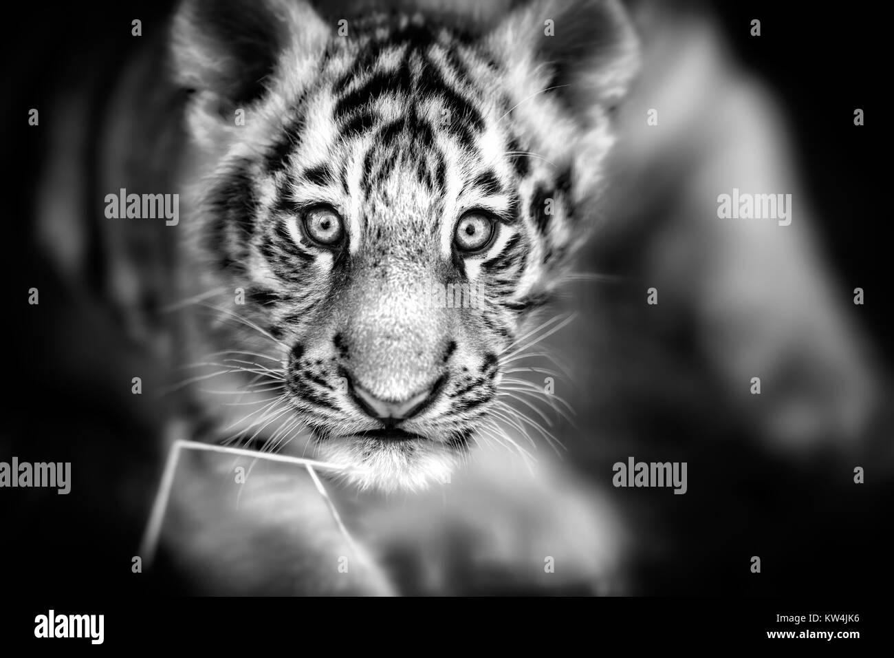 Portrait of a Beautiful Tiger cub. Tiger playing around (Panthera tigris) - Stock Image